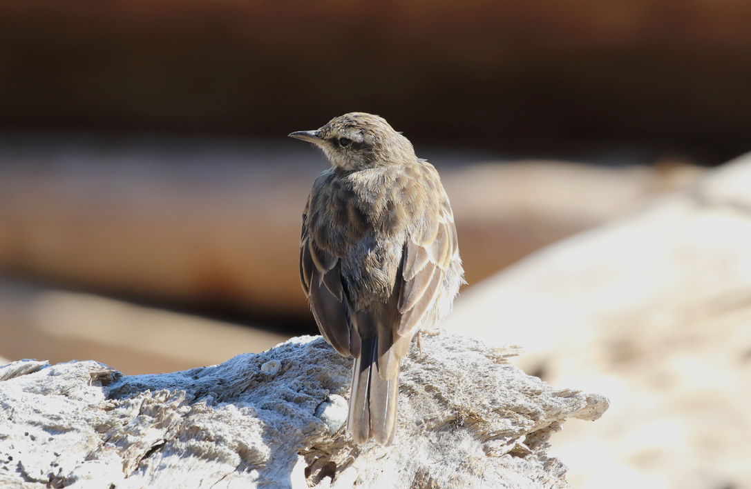 Another Pipit.