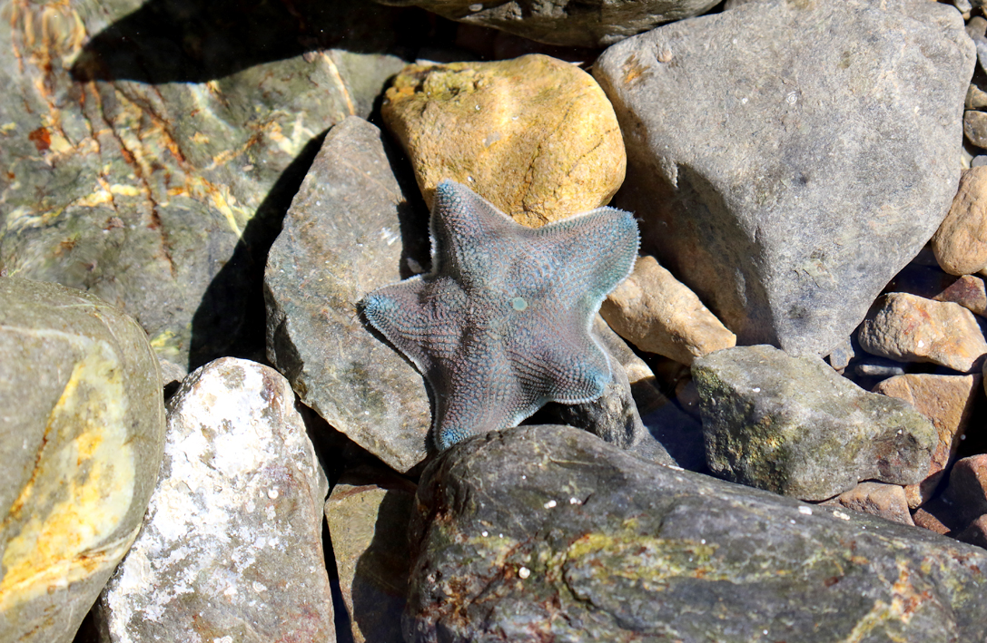 A happy starfish. It was stuck in a grubby rock pool and I moved it to a nice fresh water one. I think it was happy with its new home.