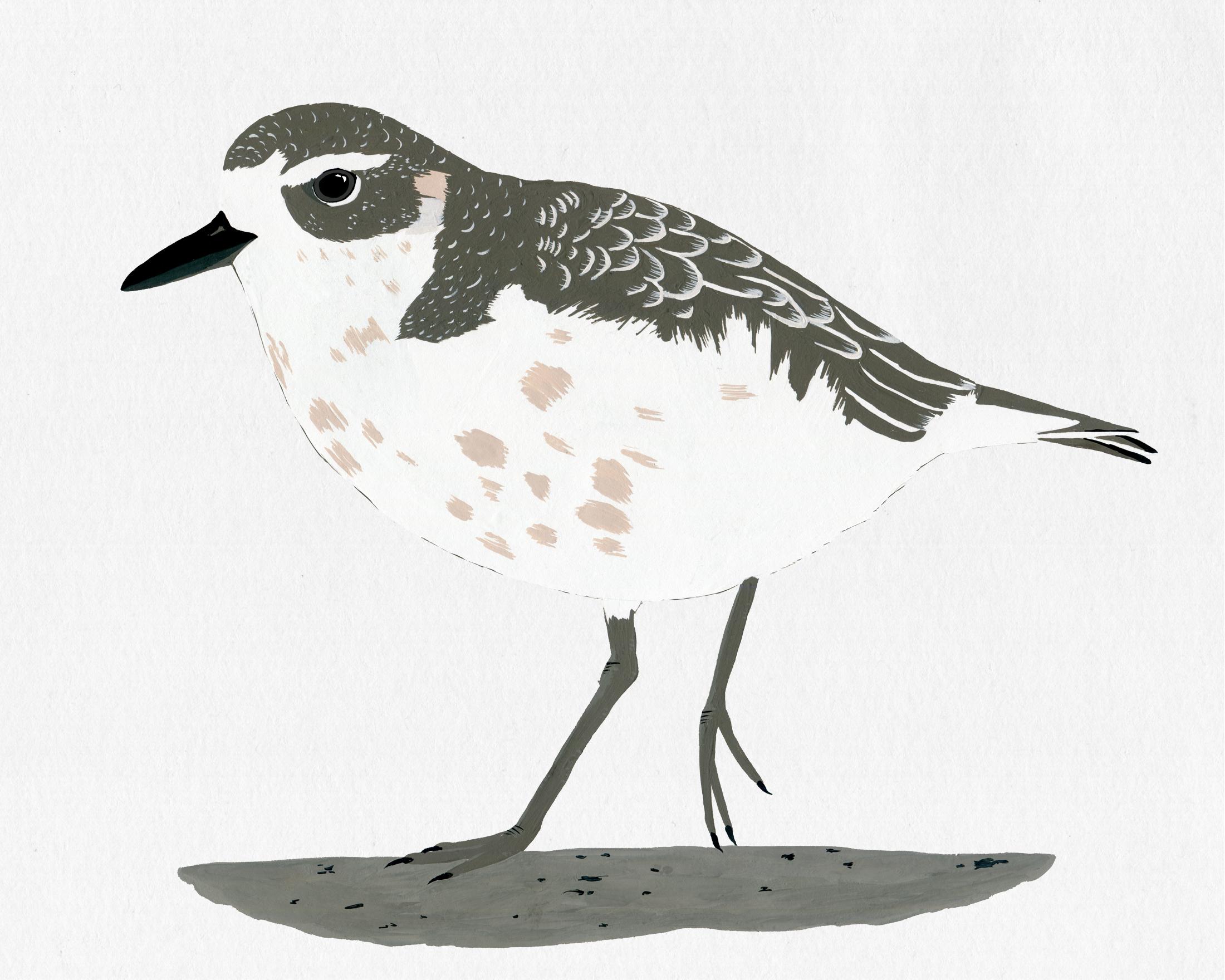 new zealand bird series - nz dotterel
