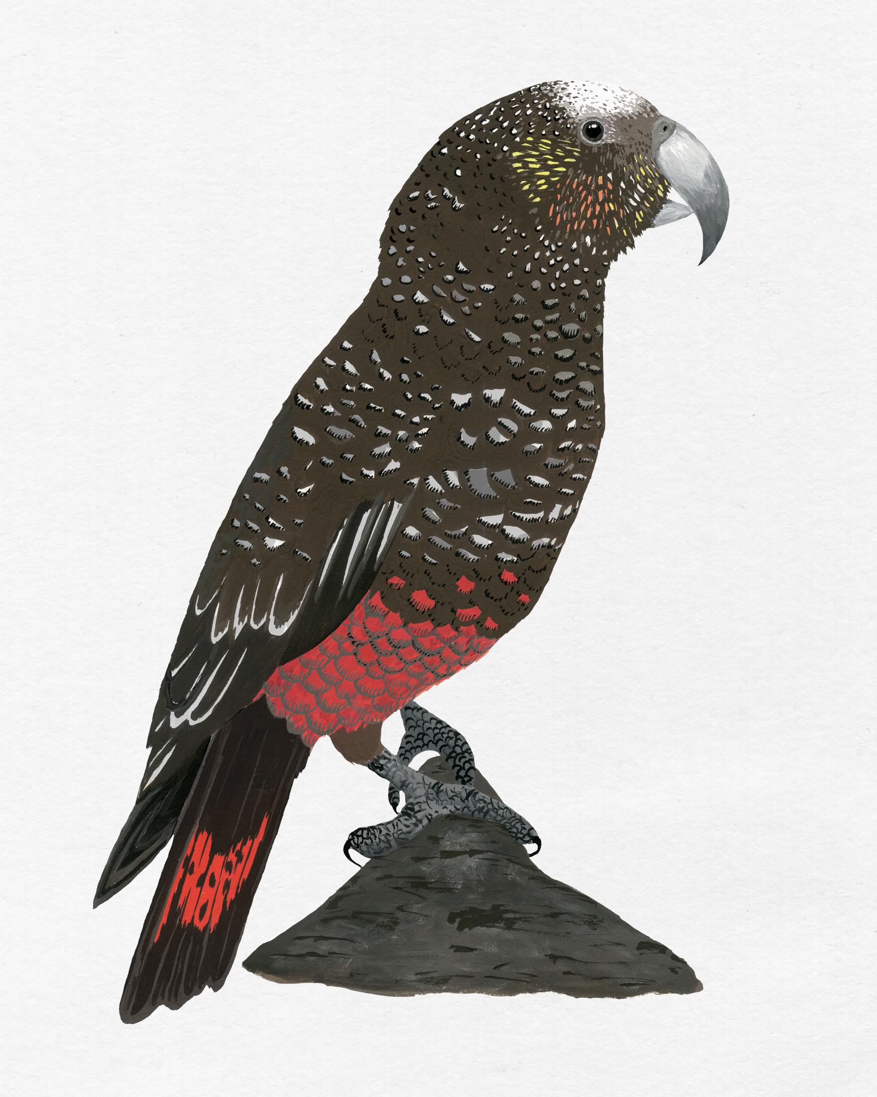 new zealand bird series - kaka