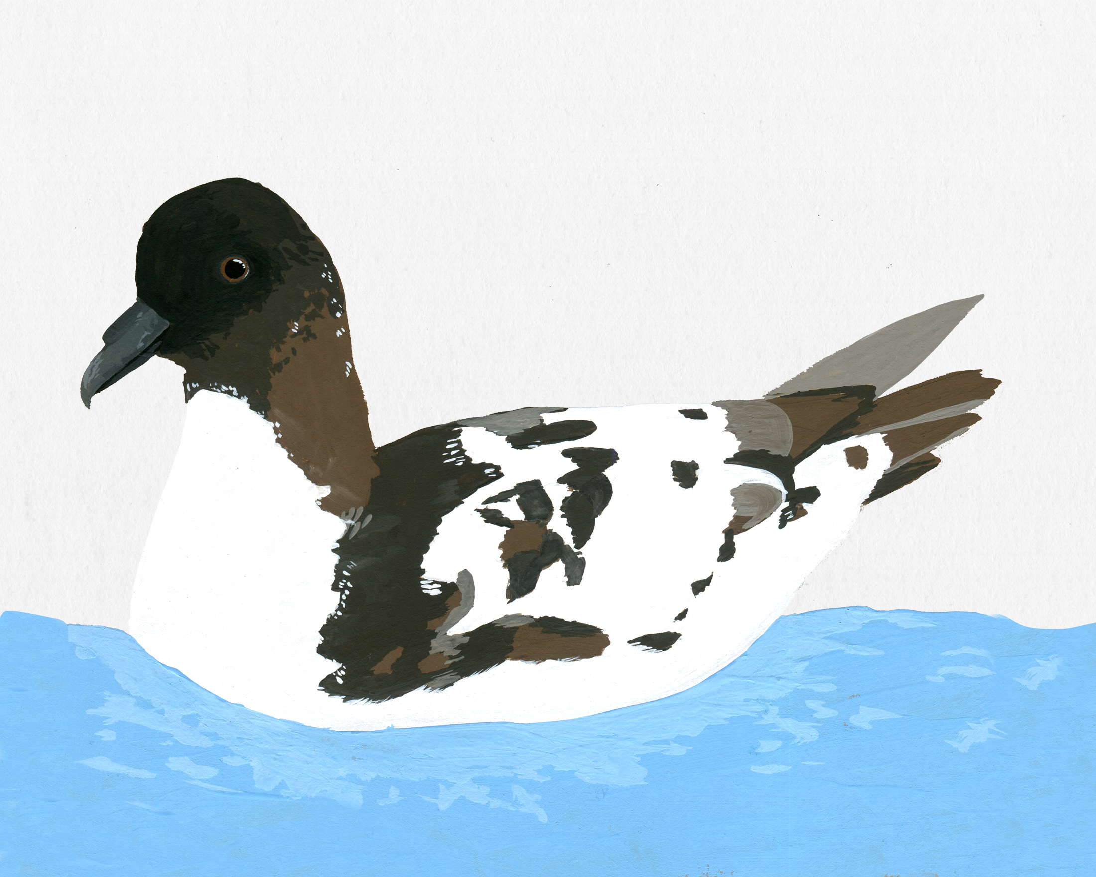 new zealand bird series - cape petrel