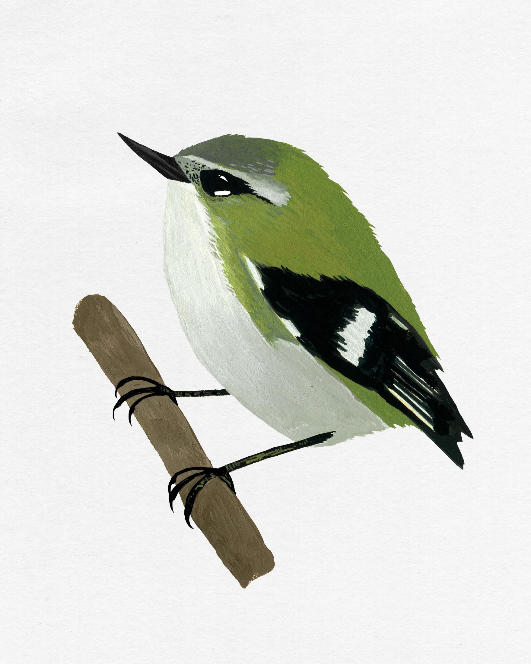 new zealand bird series - rifleman - titipounamu