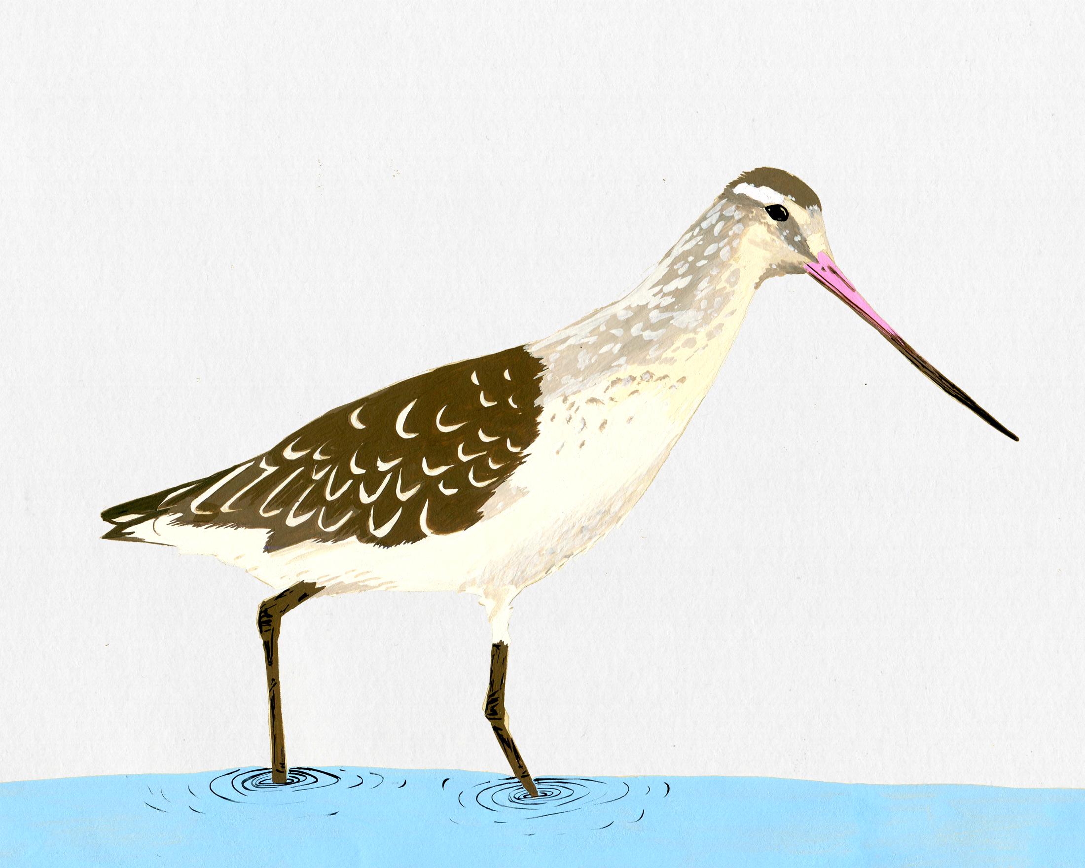 new zealand bird series - bar tailed godwit - kuaka