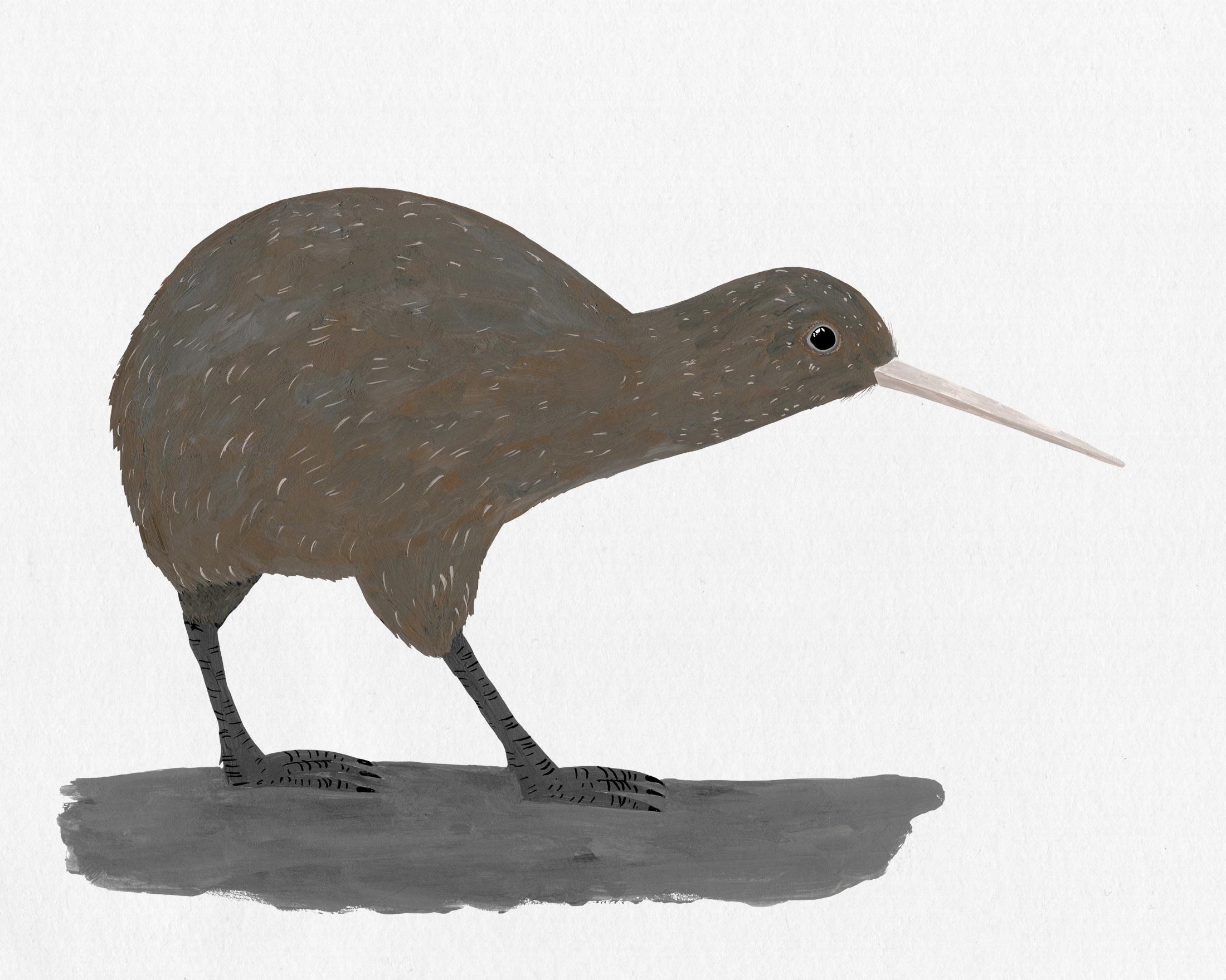 new zealand bird series - kiwi