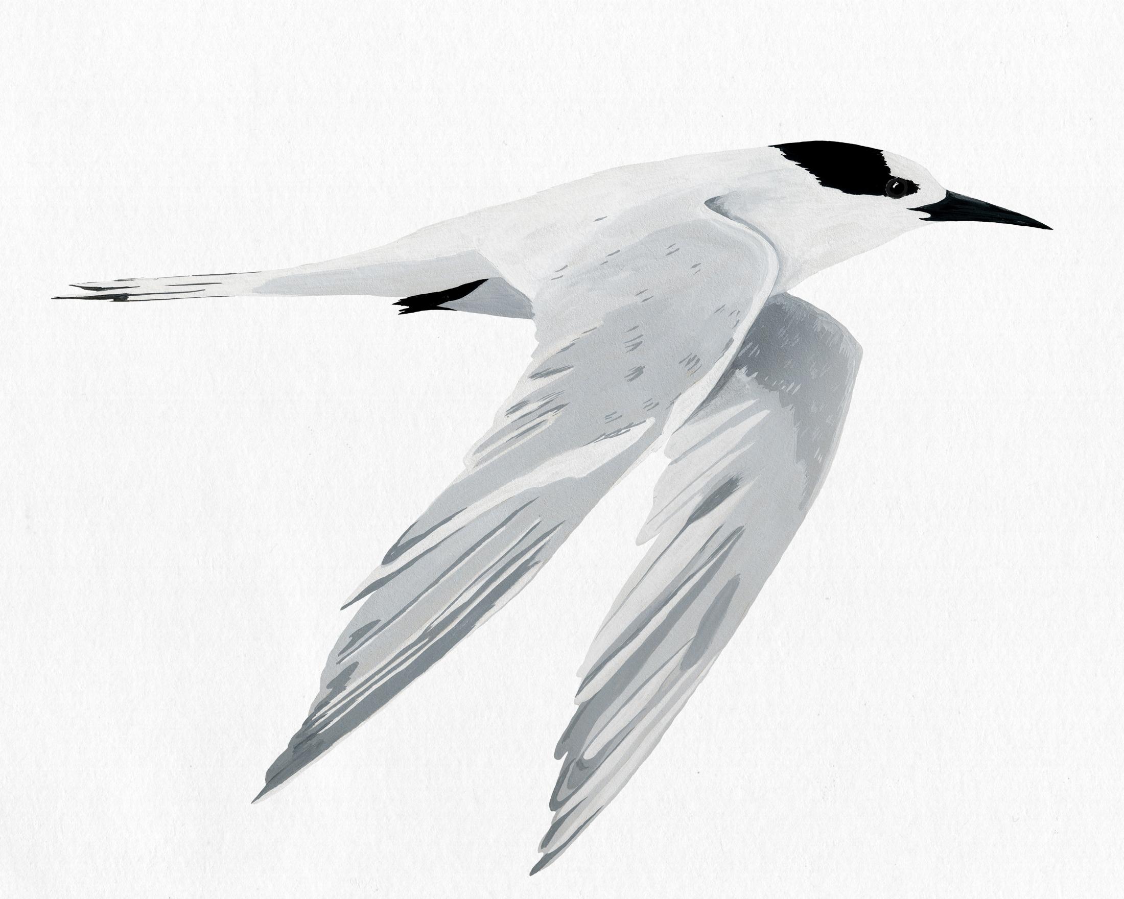 new zealand bird series - white fronted tern