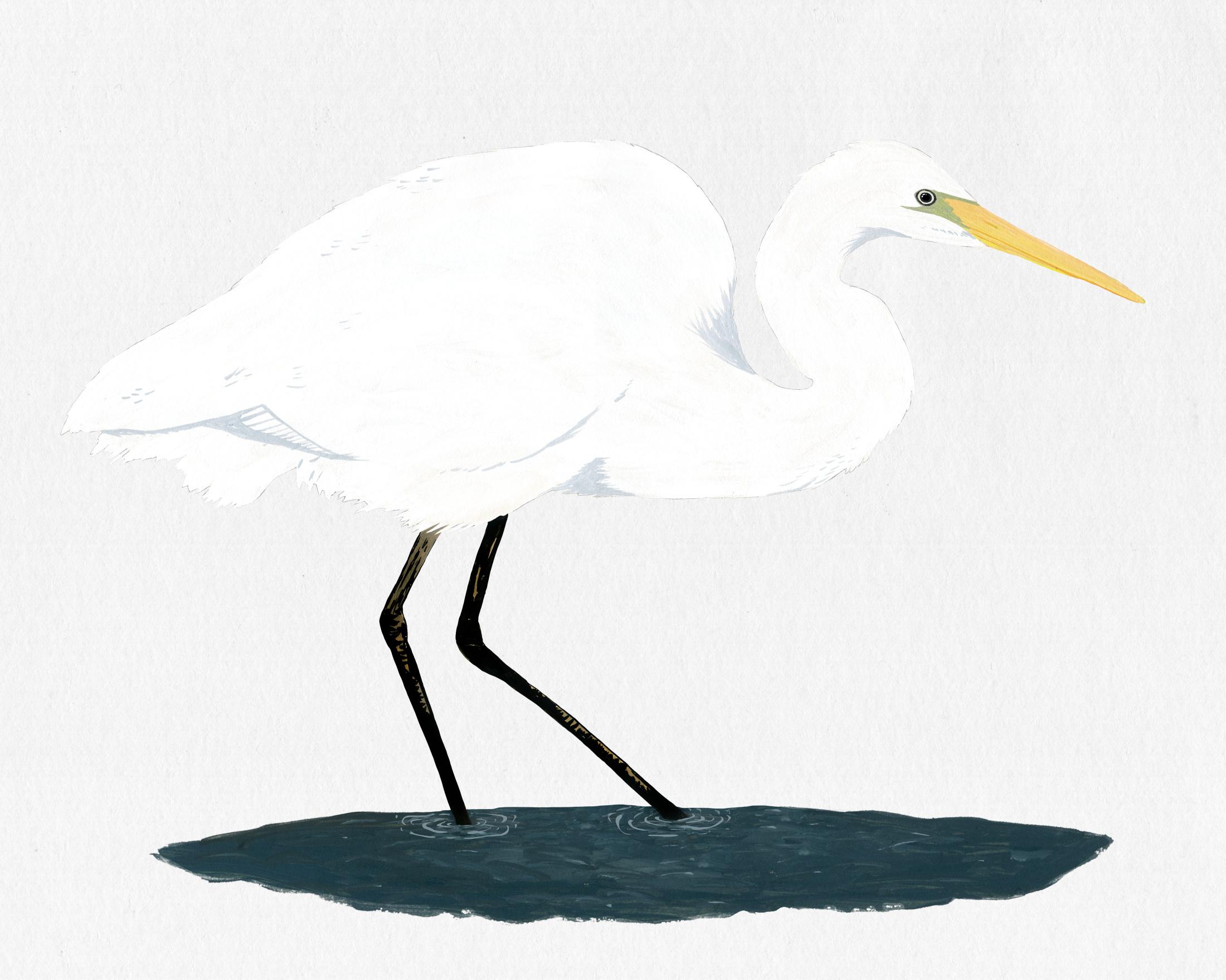 new zealand bird series - white heron - kotuku