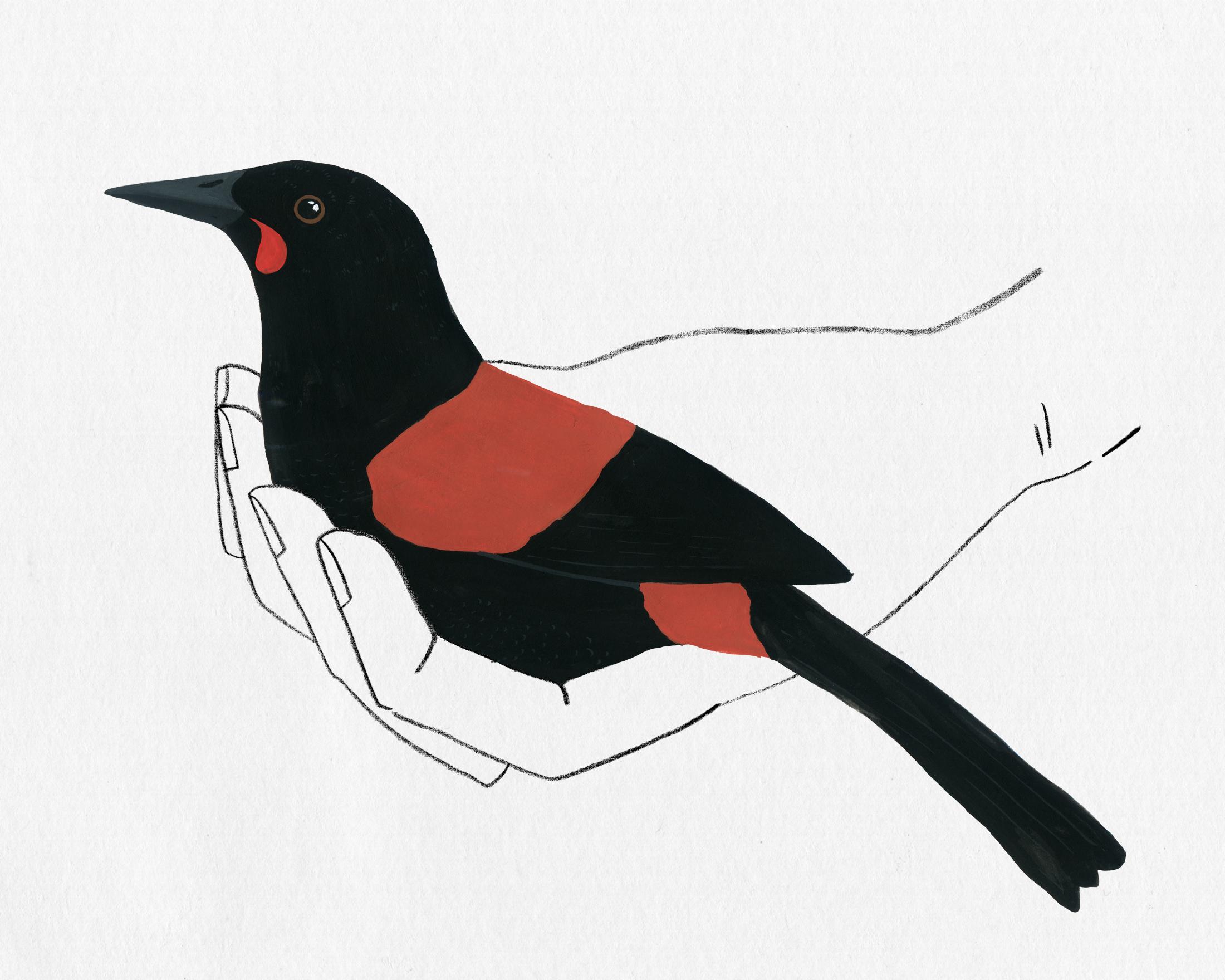 bird in hand series - saddleback