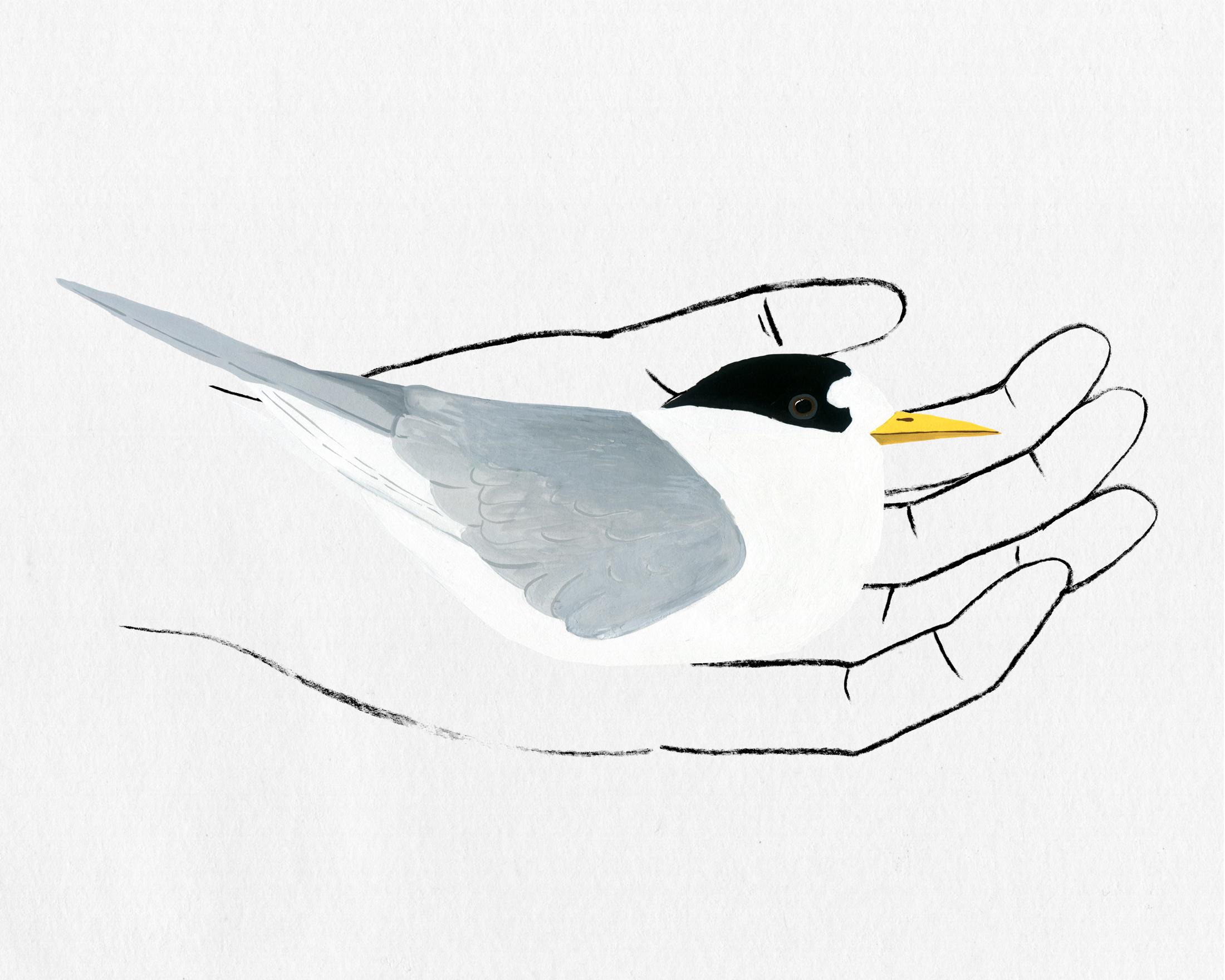 bird in hand series - fairy tern