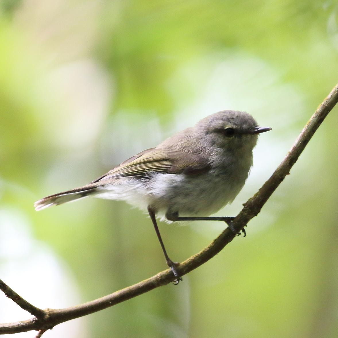 1V8A6695 baby warbler.JPG