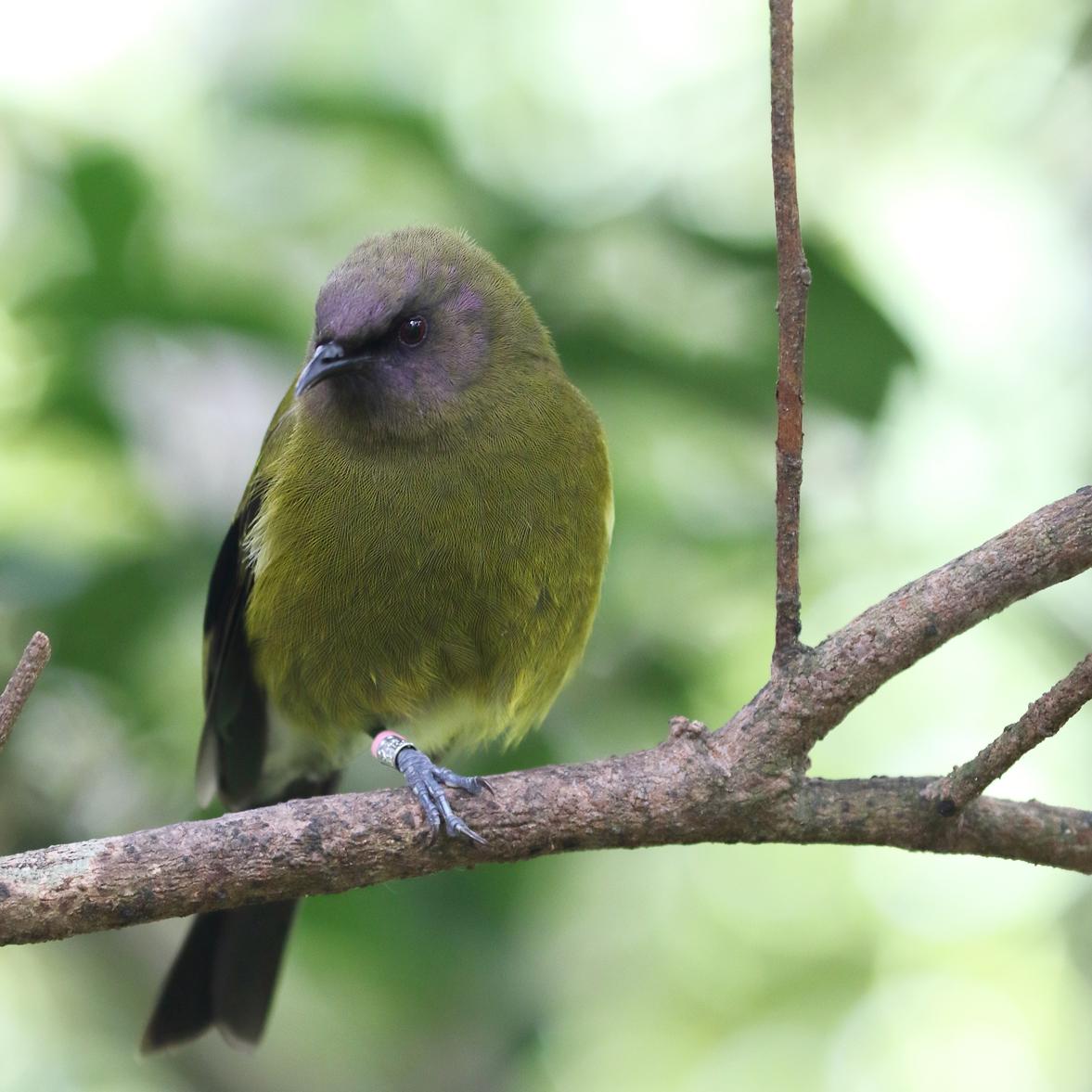 1V8A6875 male bellbird.JPG