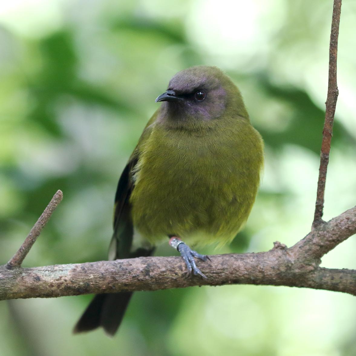 1V8A6891 male bellbird.JPG