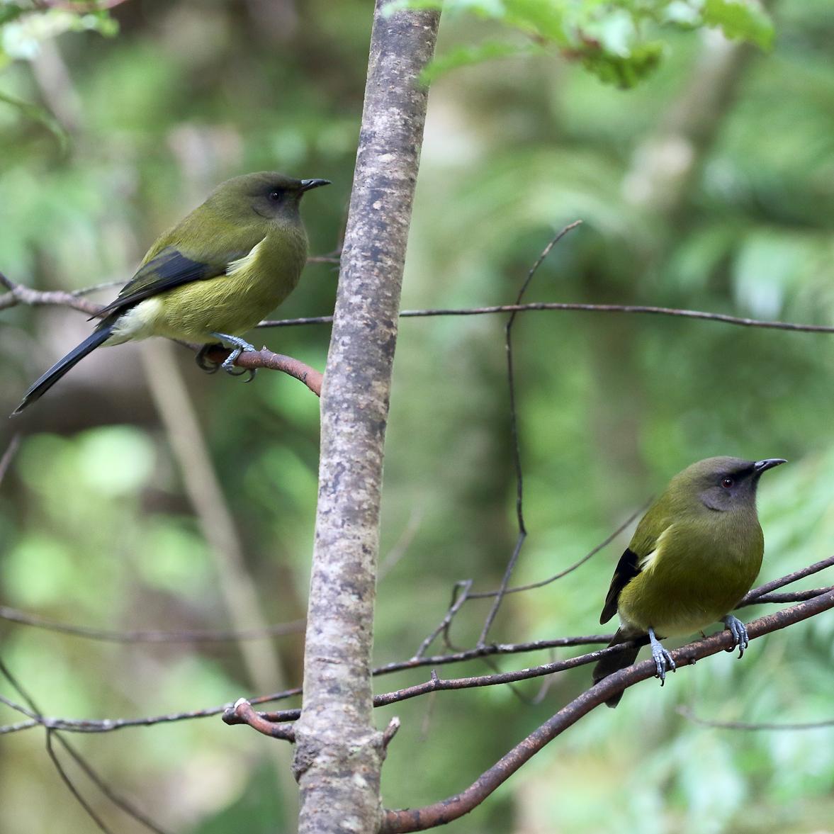 1V8A0530 kapiti bellbirds two.jpg