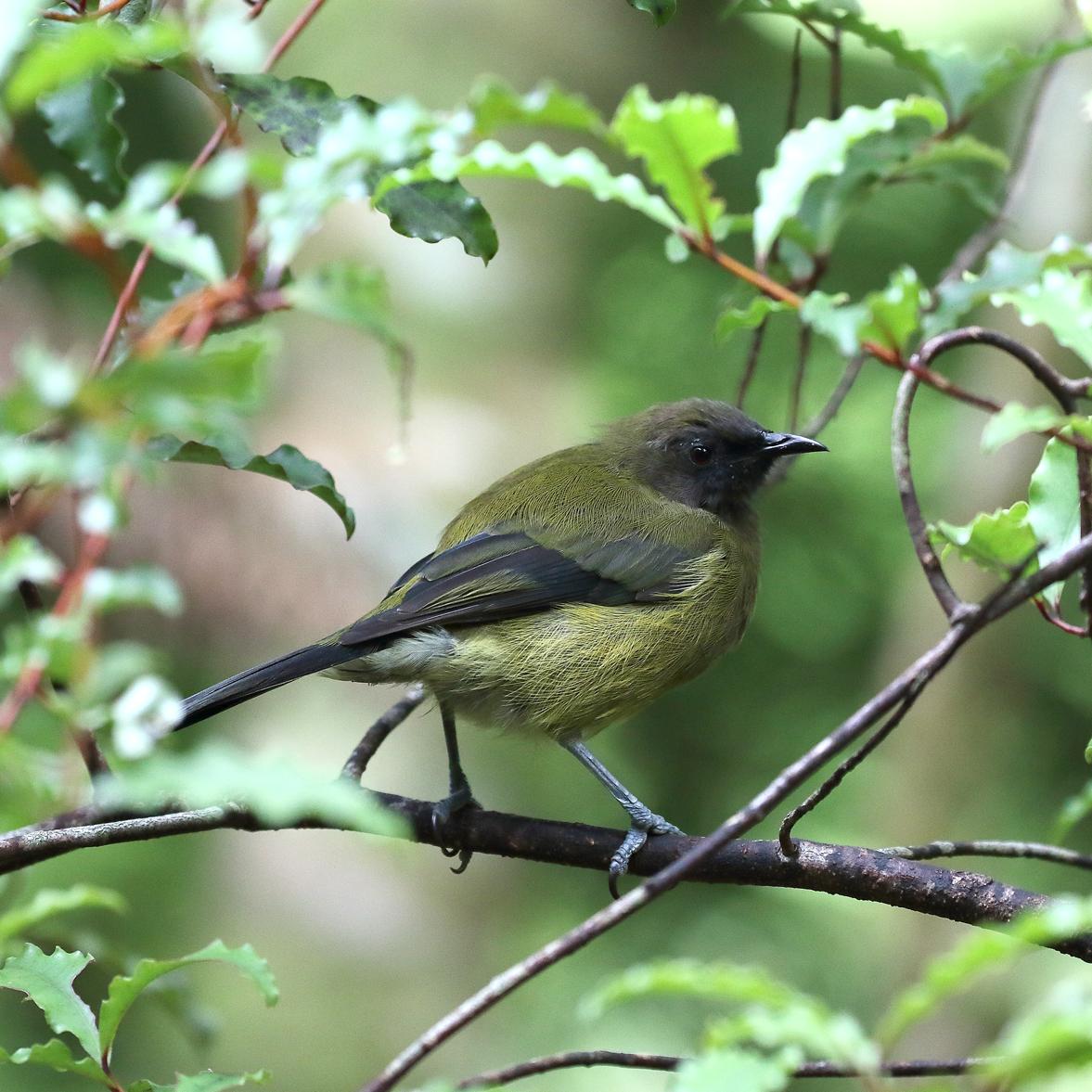 1V8A0397 kapiti baby bellbird.jpg