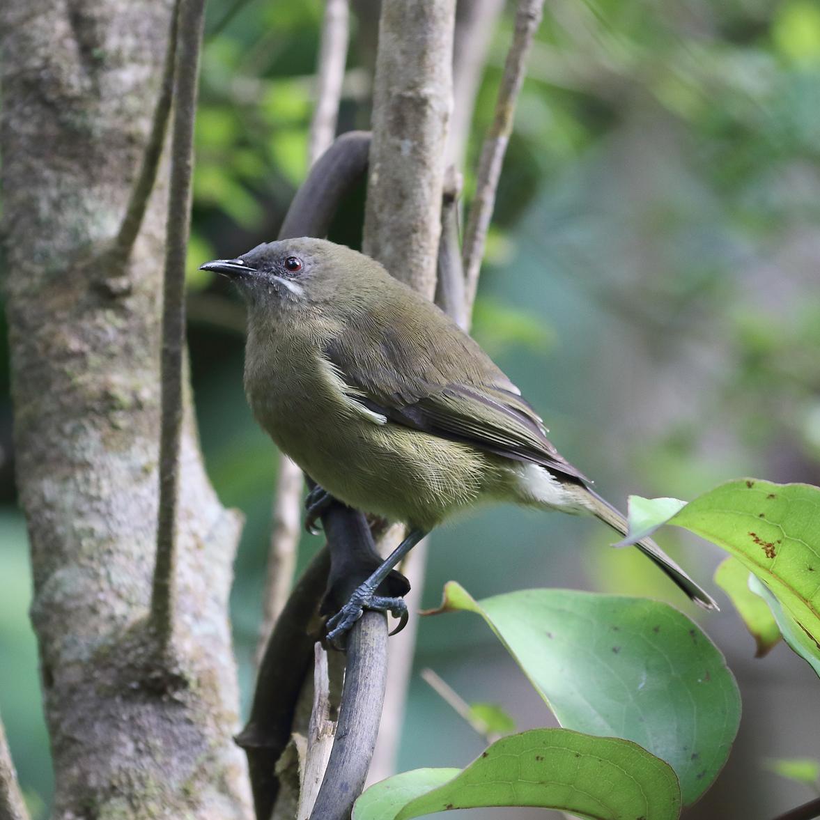 1V8A0160 kapiti female bellbird.jpg
