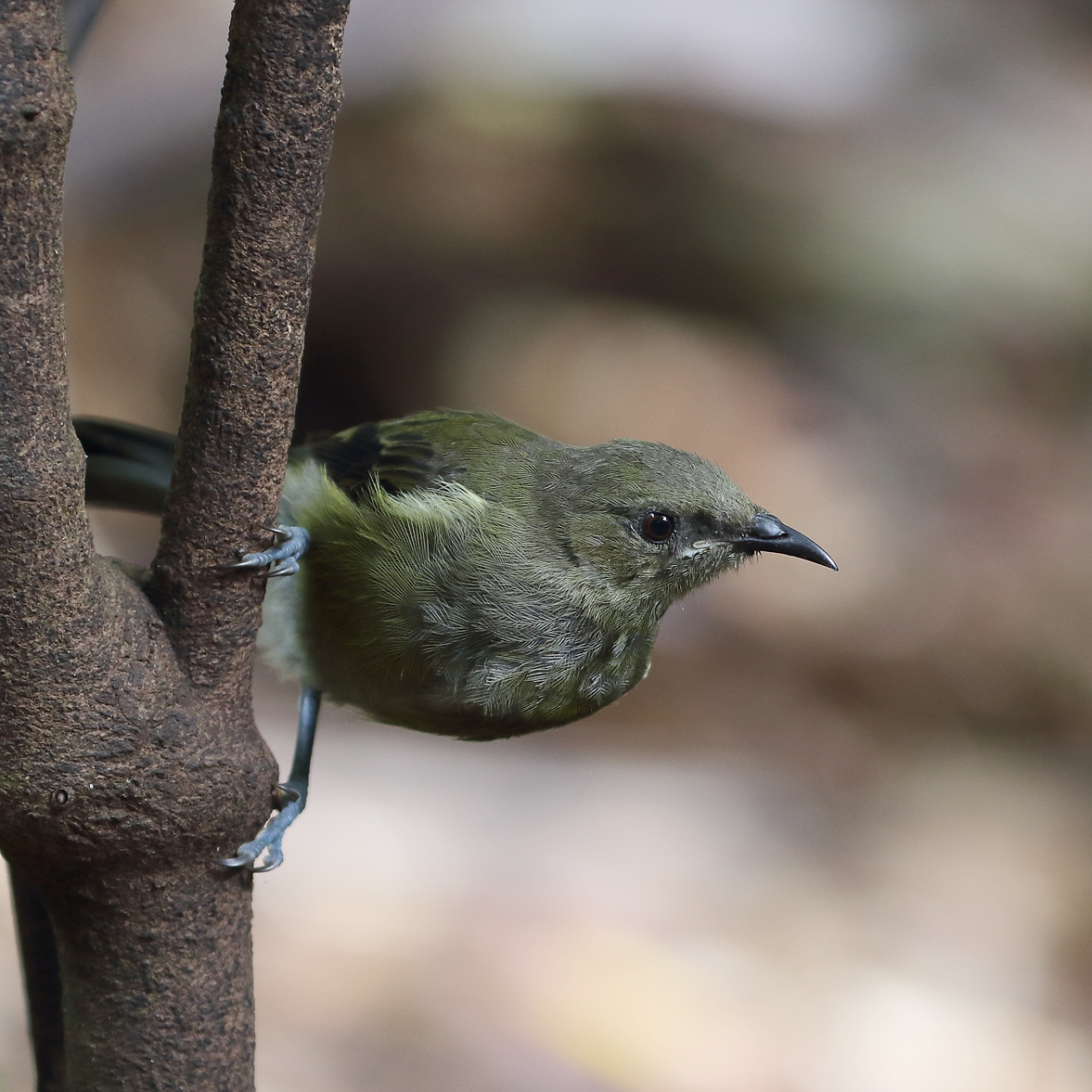 1V8A0253 kapiti bellbird.jpg