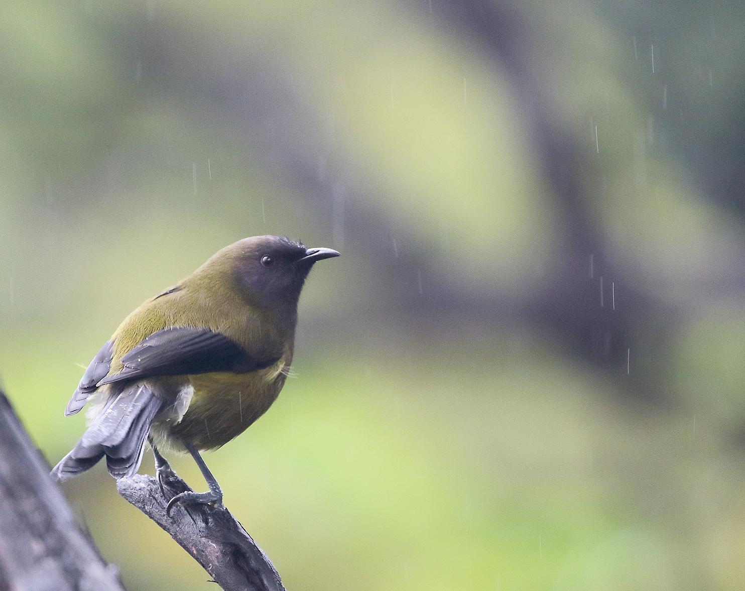 1V8A5095 bellbird.JPG