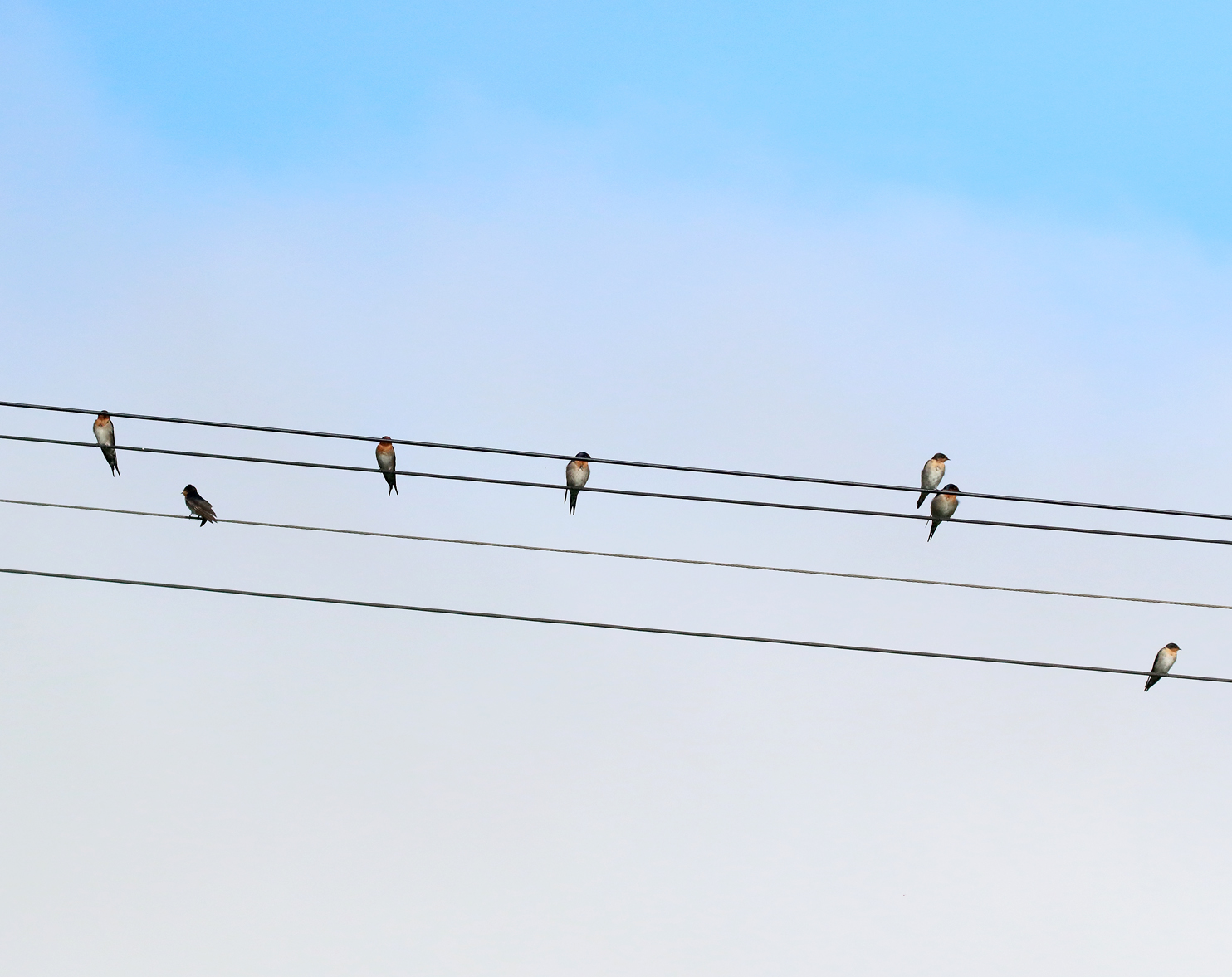 1V8A5718 swallows on wire.JPG