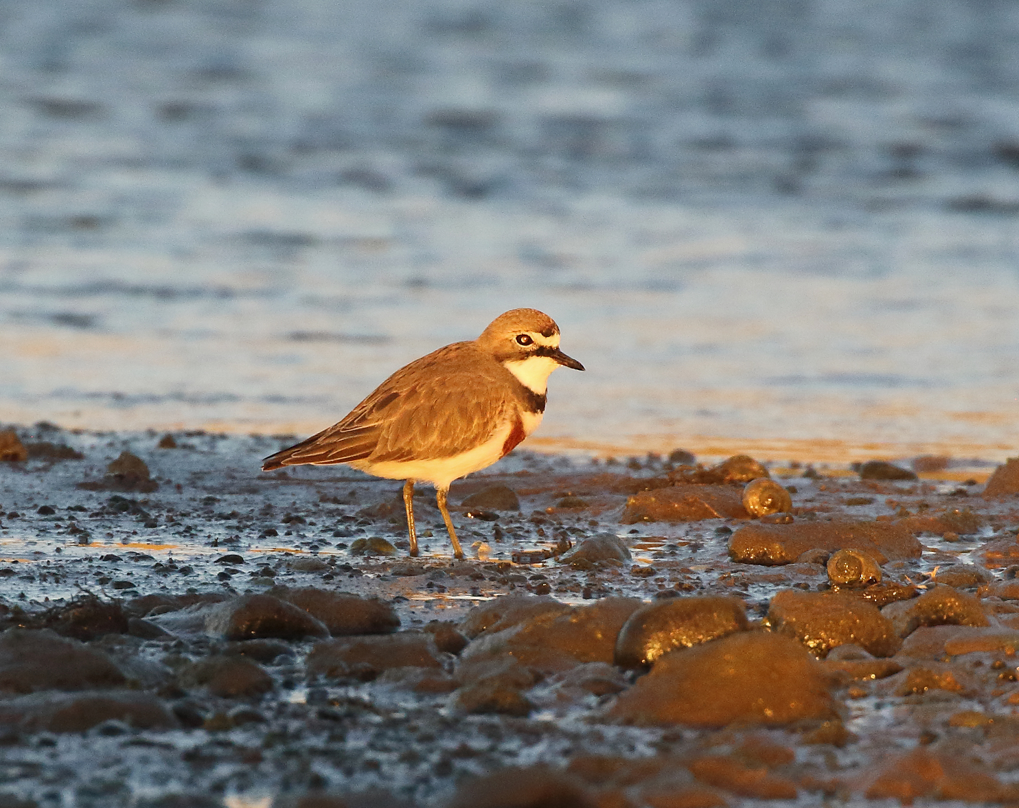 1V8A6625 banded dotterel sunset.JPG