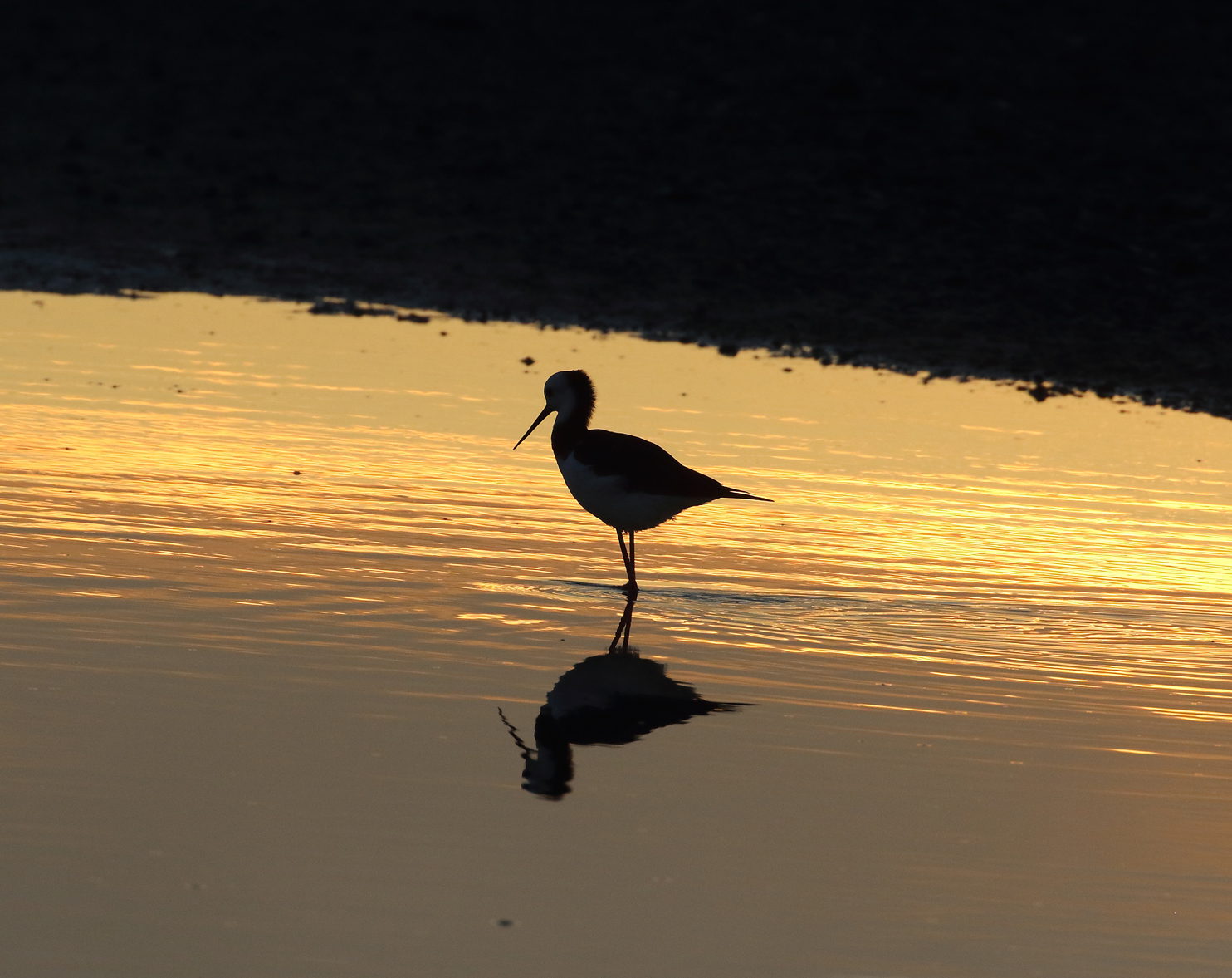 1V8A6671 pied stilt sunset.JPG