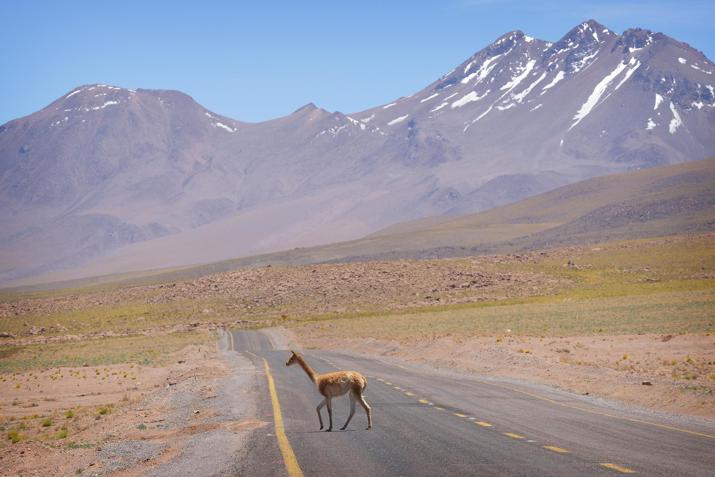 Vicuña, Chile, San Pedro de Atacama