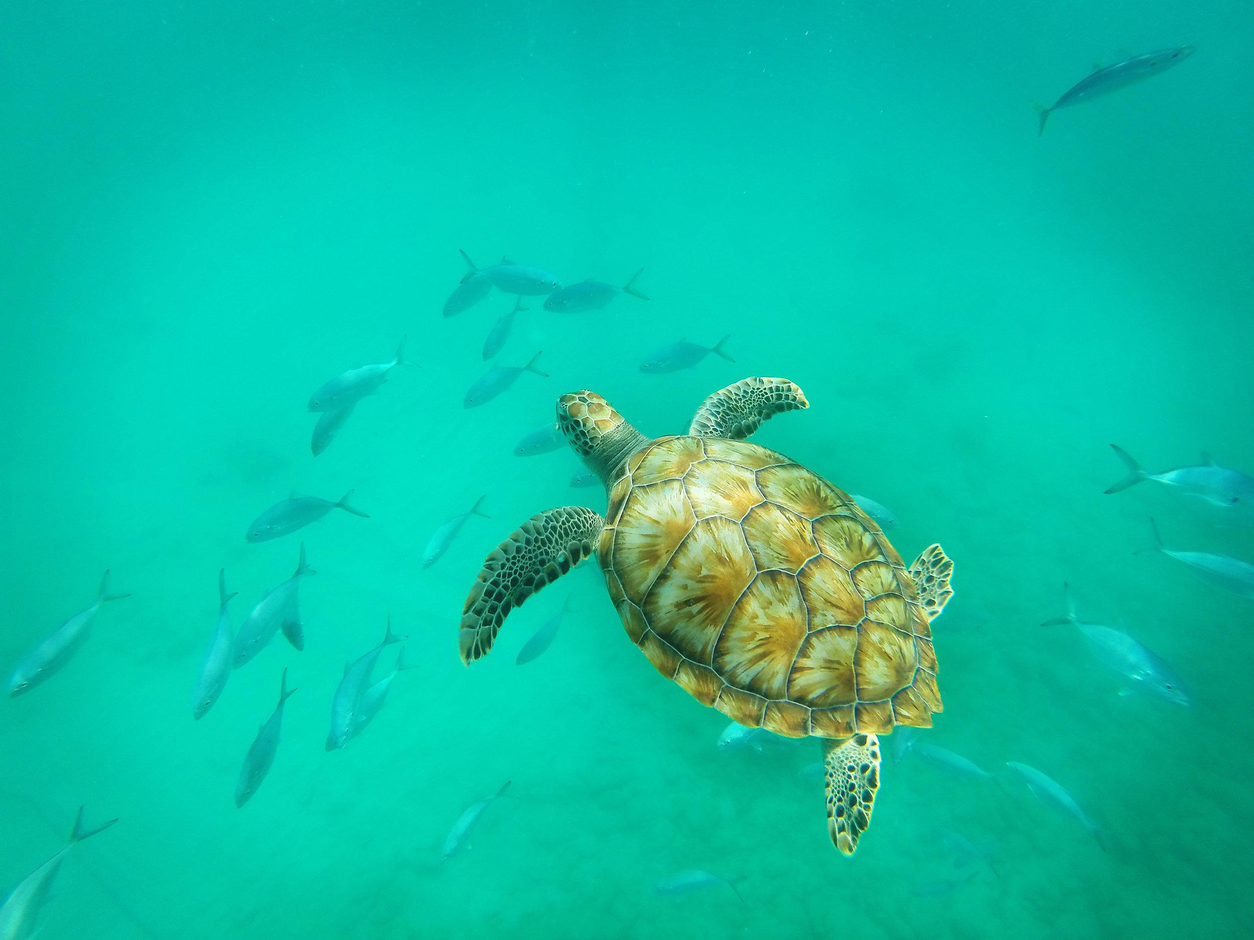 Barbados, kilpikonna, meri, kilppari, Karibia