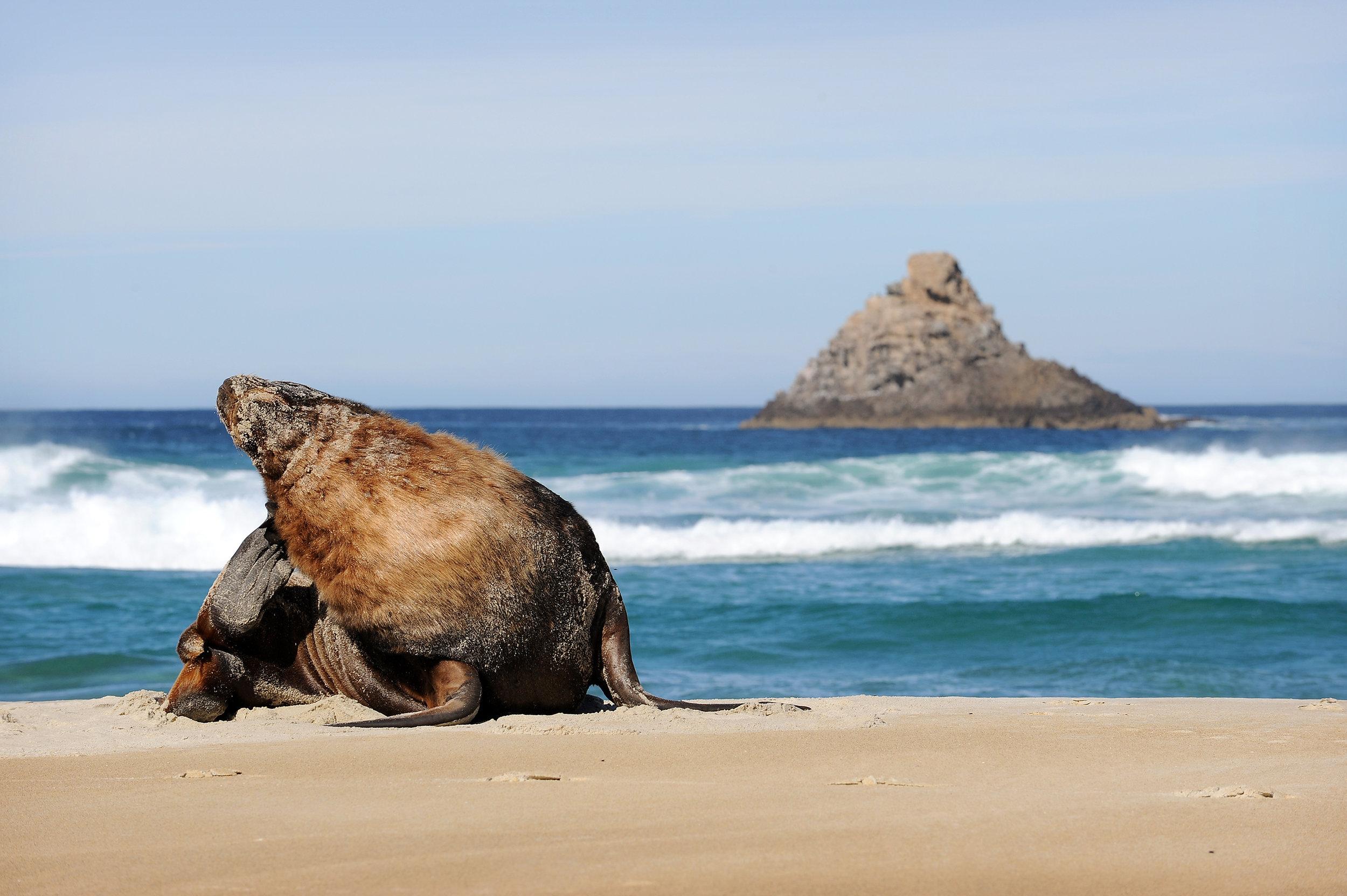 Sandfly Bay - NZ Sea Lion 3.jpg