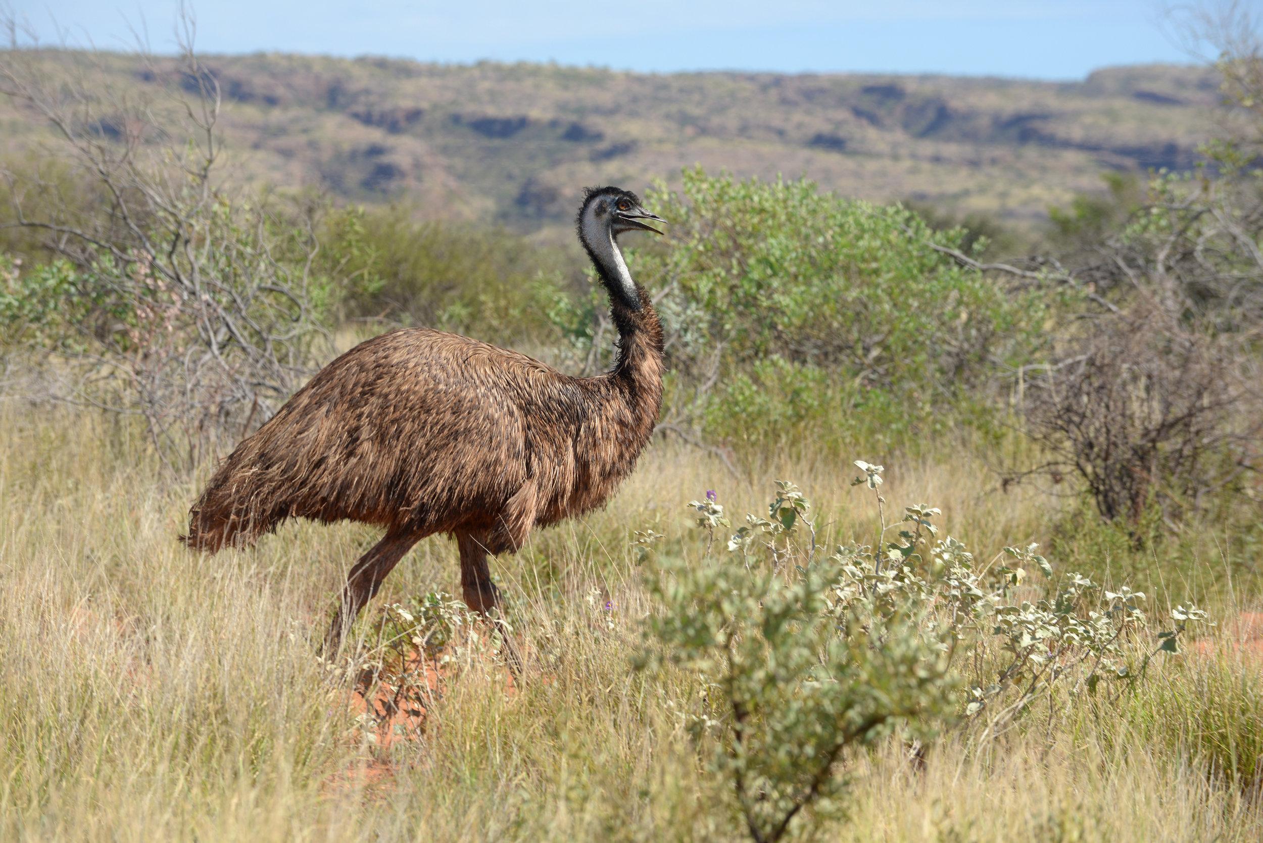 Emu, Australia, WA