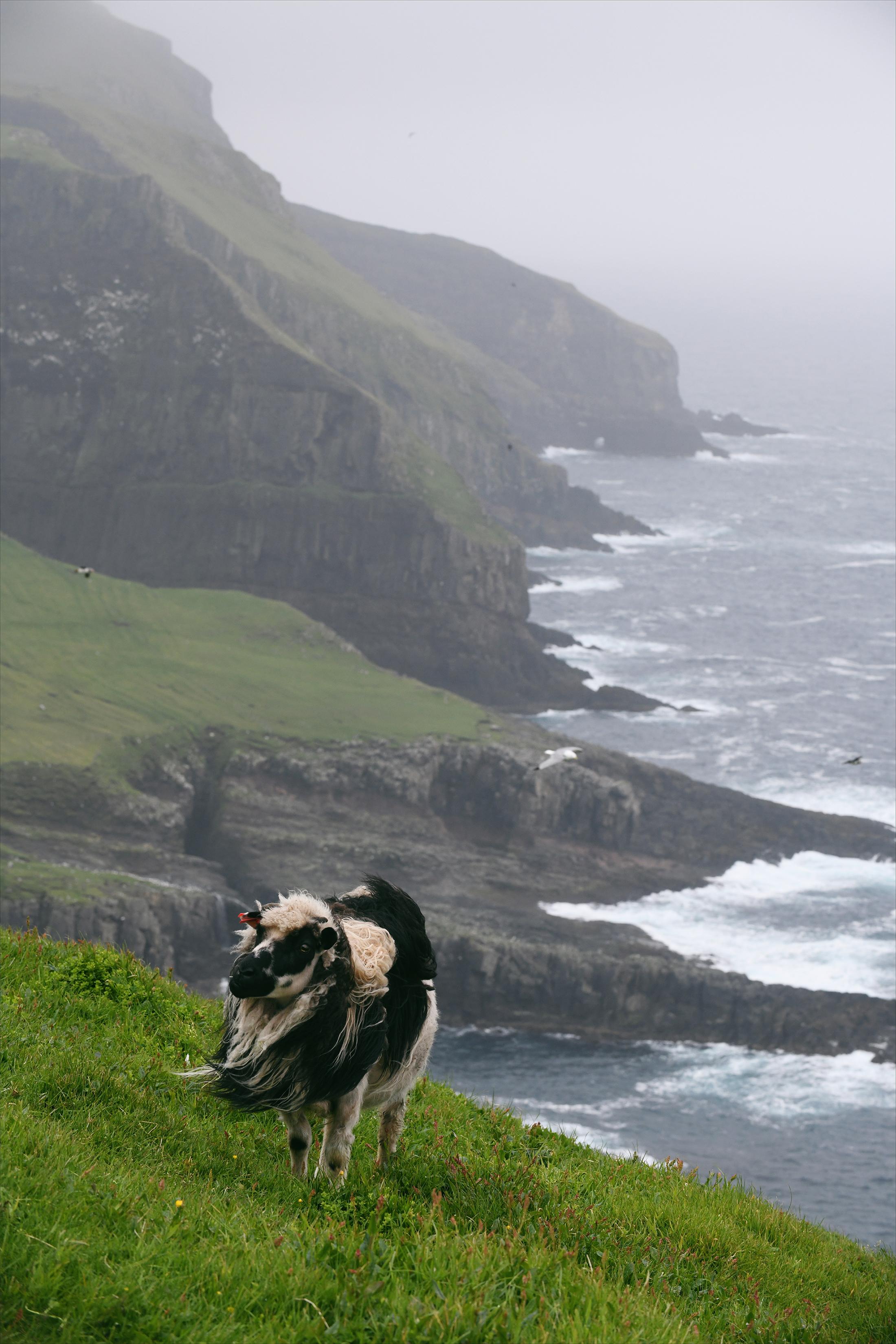Fäärsaaret, lammas