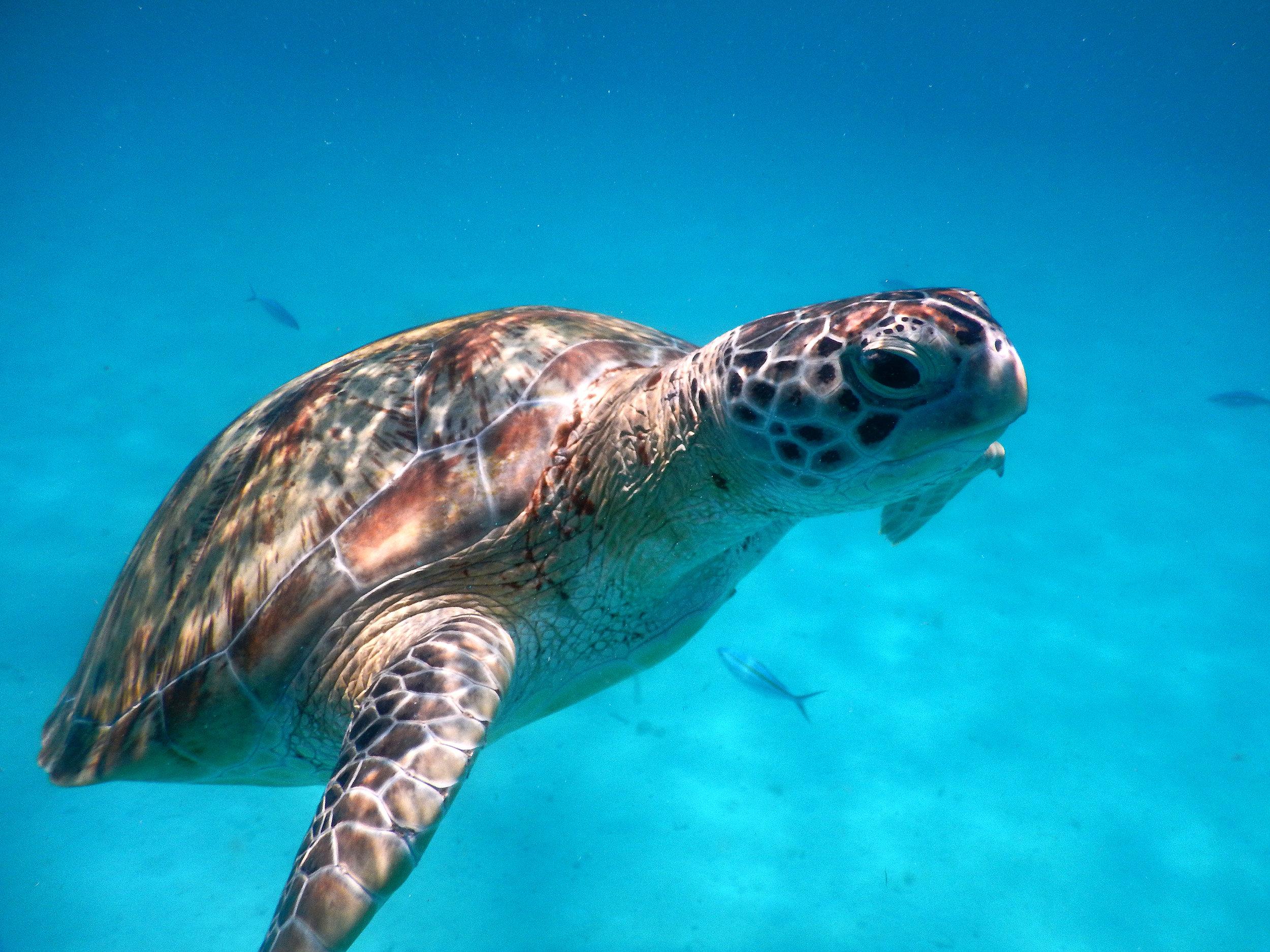 Malesia, merikilpikonna