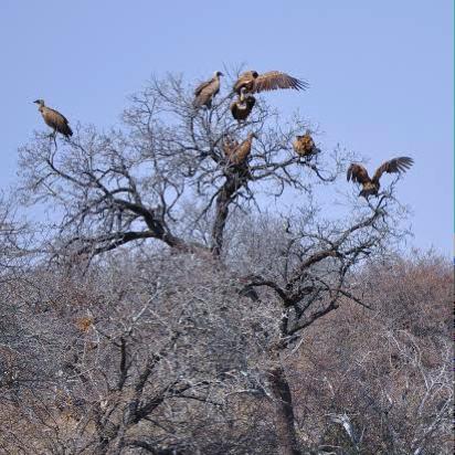 vulturesintree.png