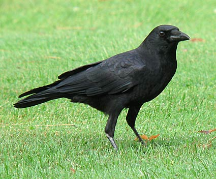 Via:https://www.allaboutbirds.org/guide/PHOTO/LARGE/american_crow_8.jpg