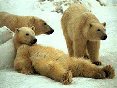Via: http://thebodhitree.ca/wp-content/uploads/2012/05/lazy-polar-bear.jpg