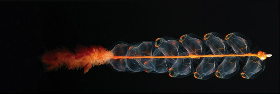Via: http://strangesounds.org/wp-content/uploads/2014/12/siphonophore.jpg