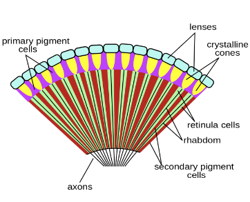 Via:https://upload.wikimedia.org/wikipedia/commons/thumb/0/01/Insect_compound_eye_diagram.svg/2000px-Insect_compound_eye_diagram.svg.png