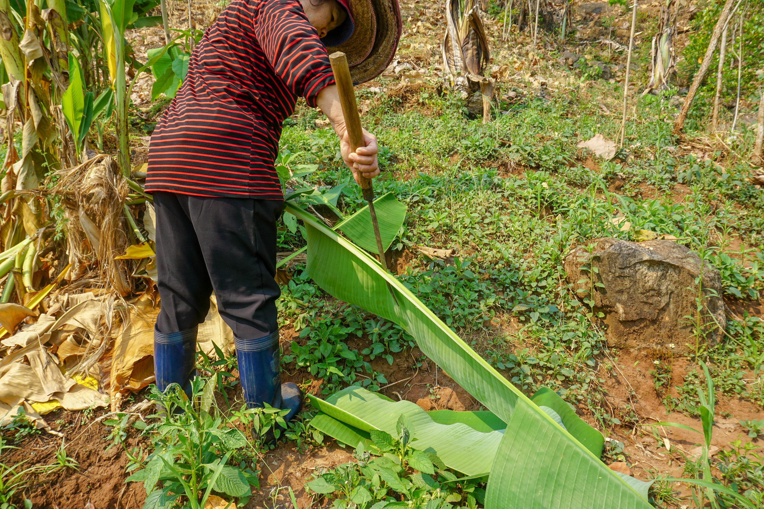 Banana_leaves-Chiangmai.jpg