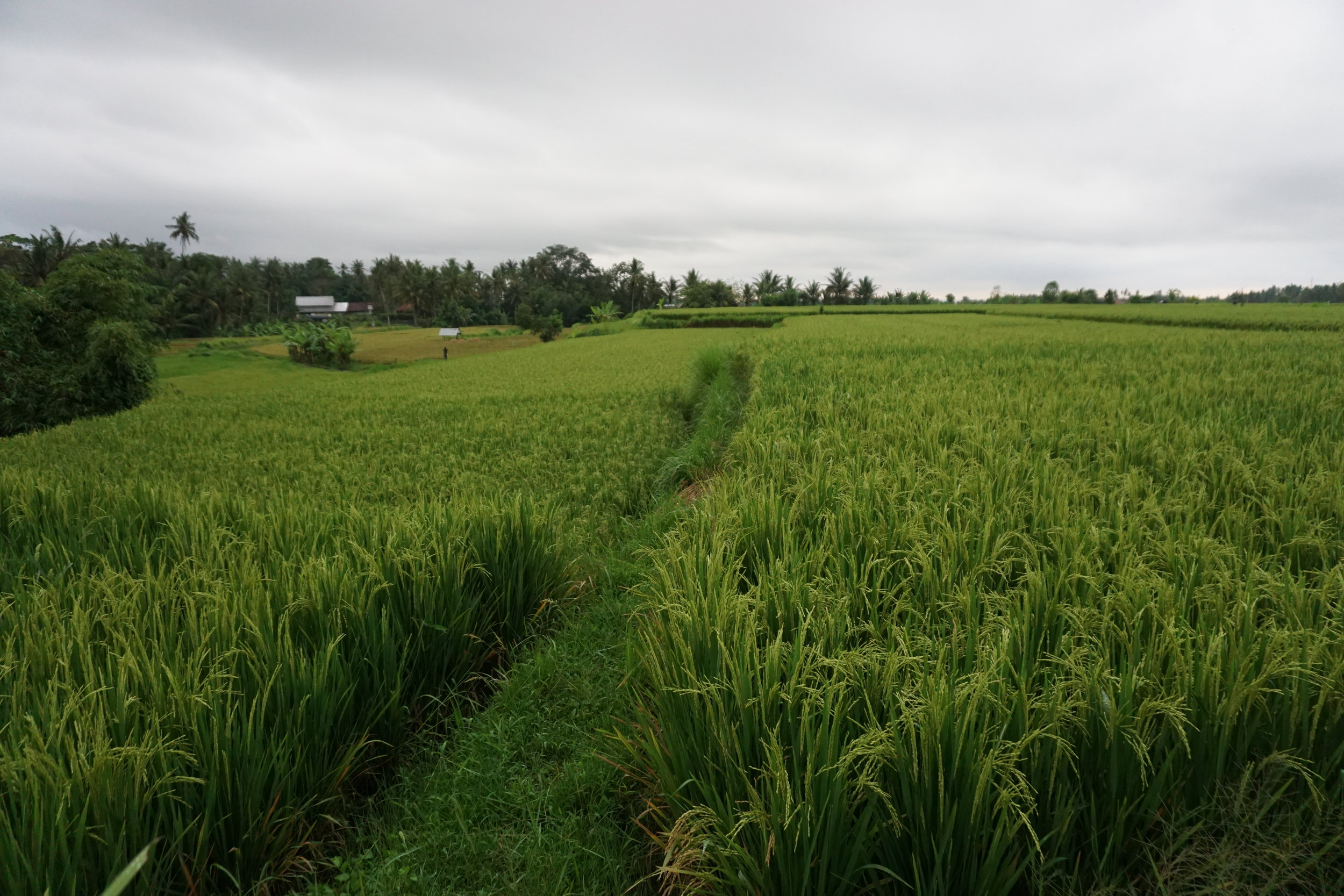 Rice-fields are everywhere in Bali, but locals are struggling for getting enough water for growing the rice!