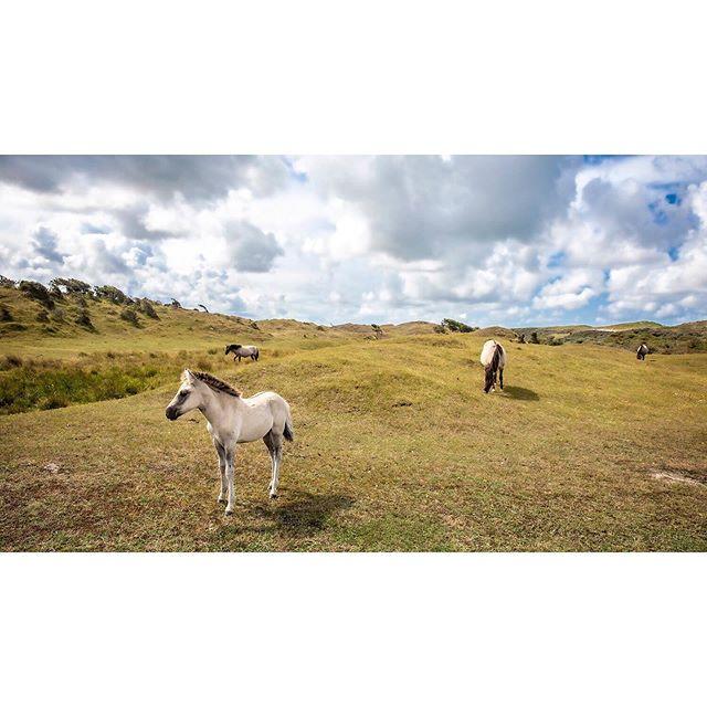 August 2019 - Oranjezon, Walcheren, Zeeland, the Netherlands. . . . . #Walcheren #Vrouwenpolder #Oranjezon #Zeeland #Netherlands #Holland #natuur #nature #horse #horses #paarden #konikpaarden #Konigs #wildhorses #wildepaarden #heide #heather #natuur #naturereserve #natuurgebied #landscape #landschap #landschapsfotografie #landscapephotography #travelgram #traveltheworld #travelphoto #wanderlust