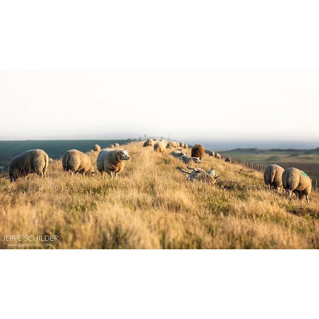 August 2019 - Haven De Cocksdorp, Texel, the Netherlands. . . . . #Texel #Texelisland #cocksdorp #Netherlands #Holland #wadden #waddeneiland #natuur #nature #natuurfotografie #schaap #schapen #texelseschapen #sheep #nederlandseluchten #landscape #landschap #landschapsfotografie #landscapephotography #travelgram #traveltheworld #travelphoto #wanderlust #island #eiland#natuurmonumenten #staatsbosbeheer #cameranu