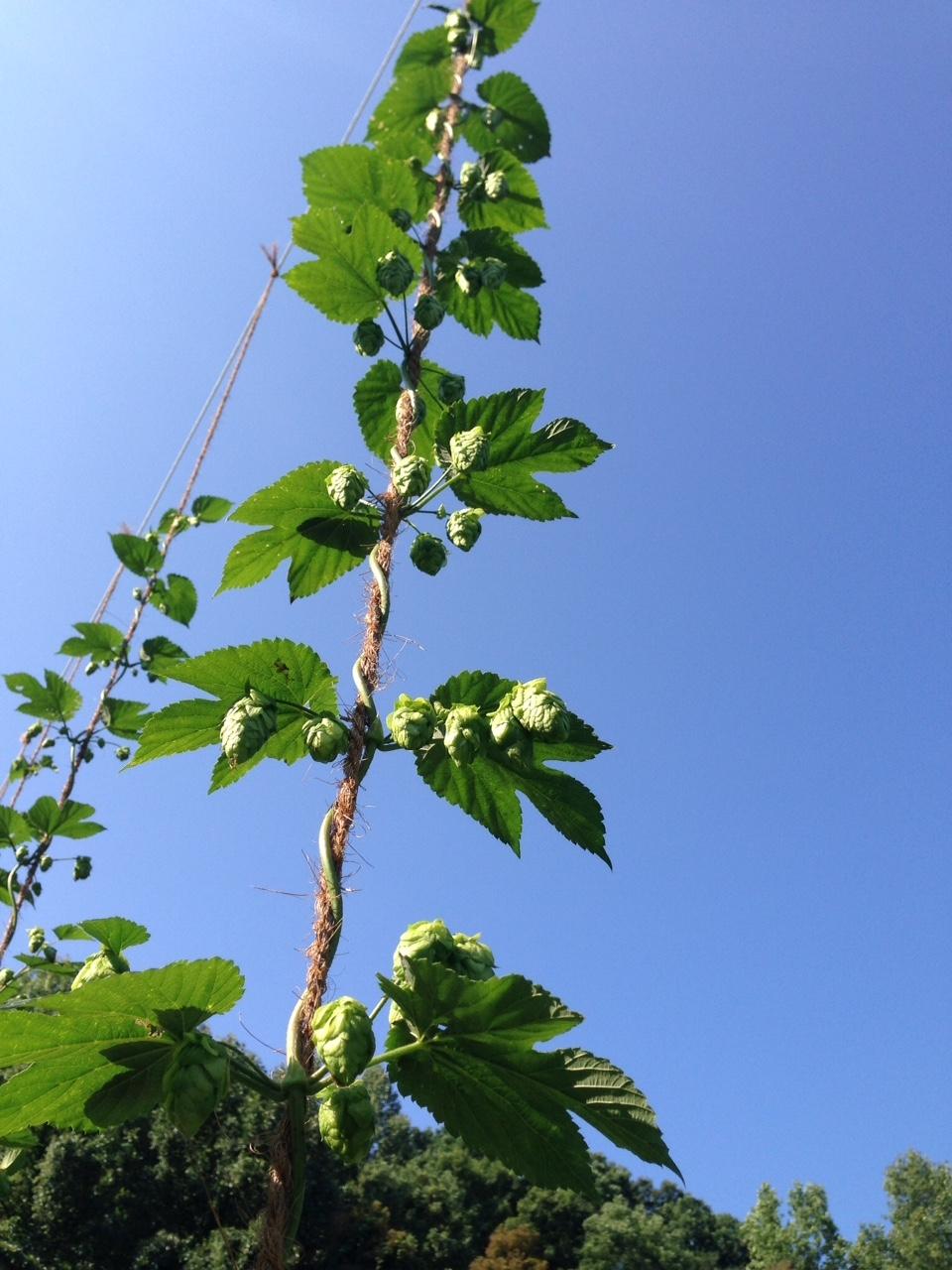 Hops reach for the sky