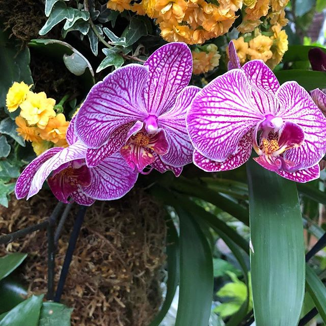 I'm loving this bright vibrant colour combo #seekingspring #orchids #flowersofinstagram #naturephotography