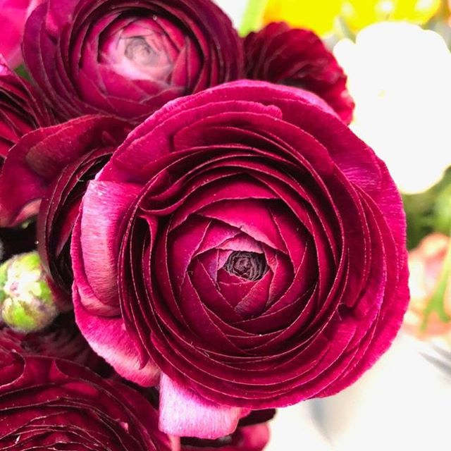 Second to peonies I would say that ranunculus are my favourite flower, they are simply beautiful. #flowers #flowerstagram #ranunculus #burgundyflowers #favflower #favouriteflower