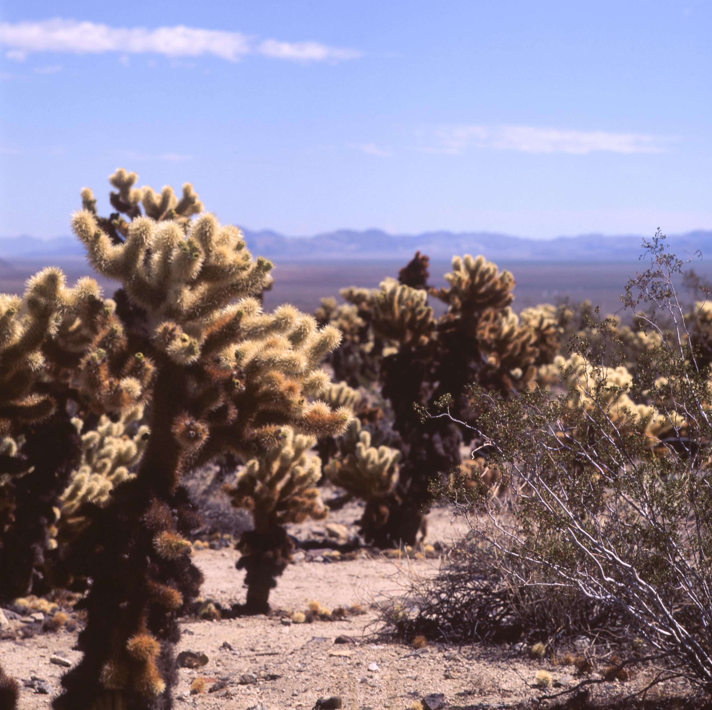 Cholla Cactus Garden Hasselblad 501cm | Fuji Velvia 50
