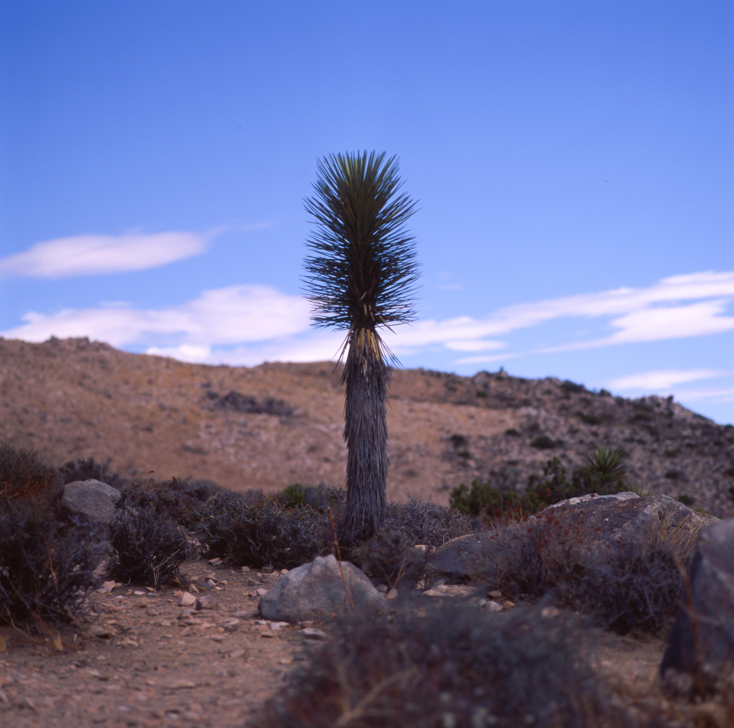 Joshua Tree Hasselblad 501cm | Fuji Velvia 50
