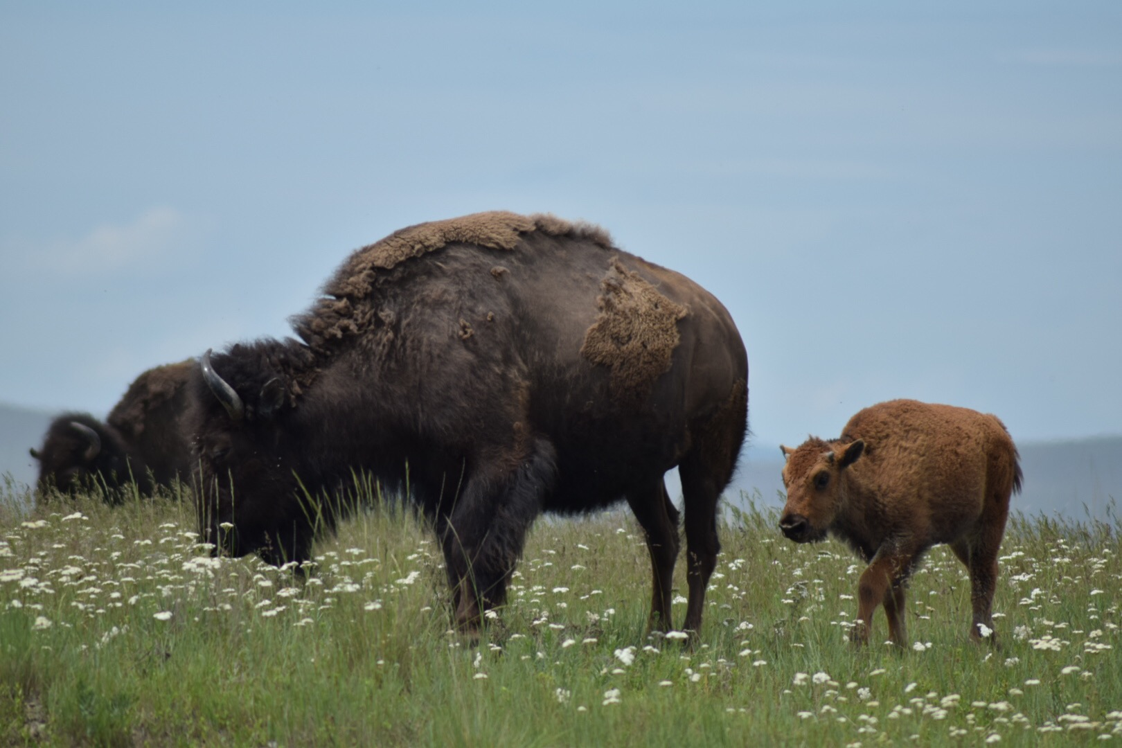 Mother and Baby bison