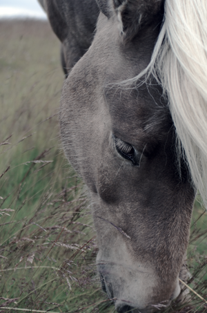 iceland_horse_seos_photography.png