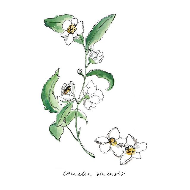 Camelia Sinesis • Tea flowers, part of a series of illustrations for the new afternoon tea menu @adamhandlingchelsea 🌿☕️ • • • #adamhandling #events #eventplanner #london #chelsea #afternoontea #eventdesign #ink #penandink #illustrator #illustration #artist #sketchbook #penandink #instaart #artwork #draw #instadraw #foodillustration #tea #flowers #teatime #artoftheday #inking #prints #onmydesk #artist #etsy #etsyshop #etsyseller #watercolour