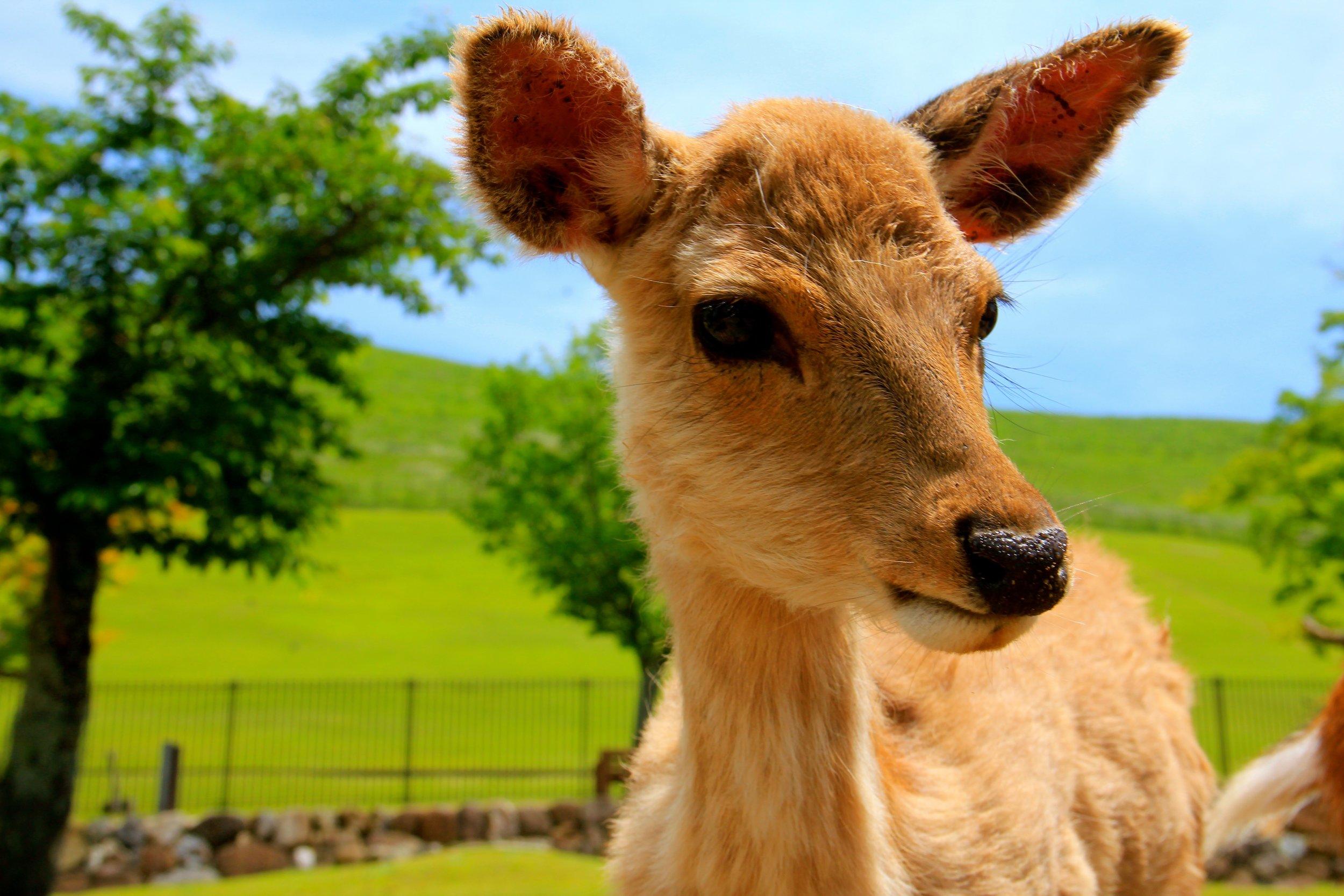 Deer Park, Nara, Japan