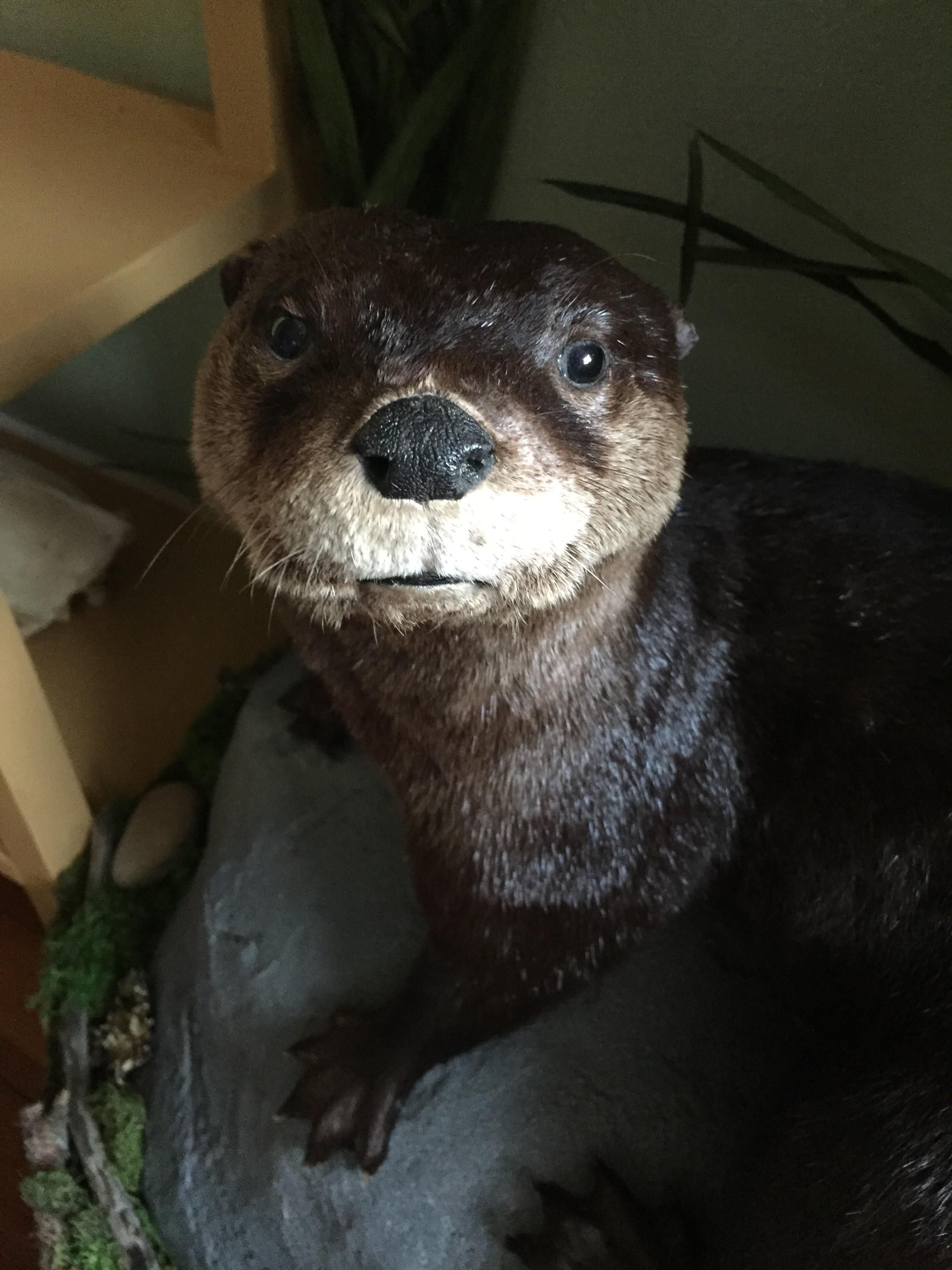 Otter[8029].jpg