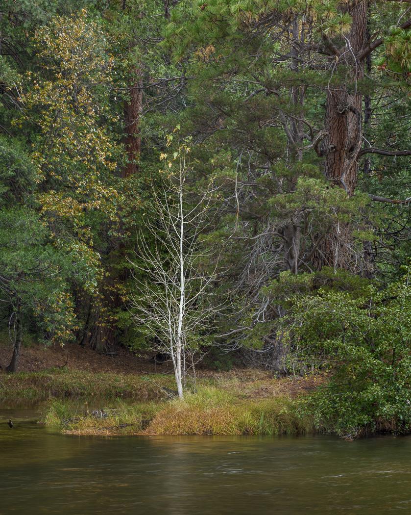 Yosemite- Tree in river.jpg