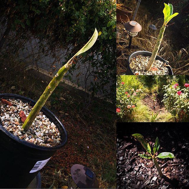 Transplanted Leah's last Plumeria propagation #plumeria #ripleah #gardening
